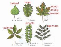 80cb4849d8e78a93ce9d12c178c197ef--tree-leaves-house-plants.jpg
