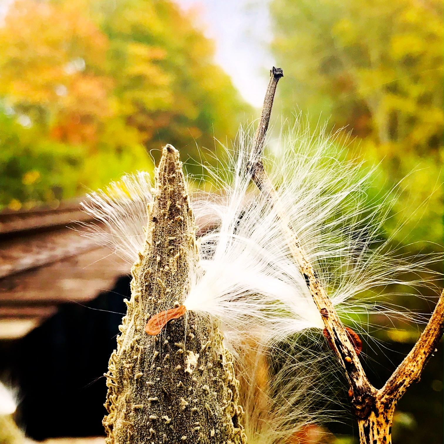 Milkweed on The Railroad
