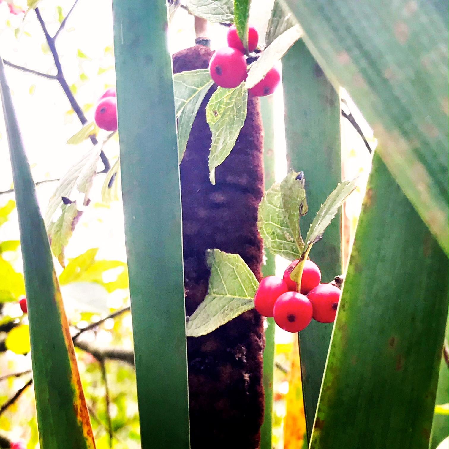 cattails berries.JPG