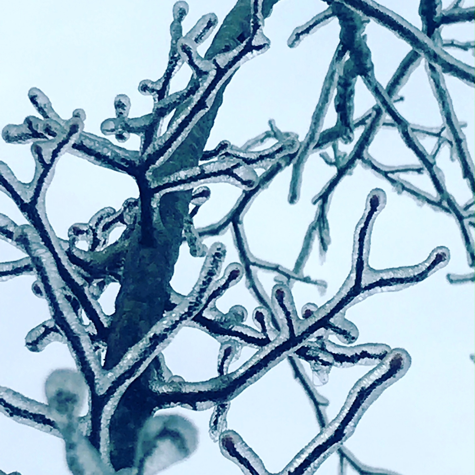 frozen tree.JPG