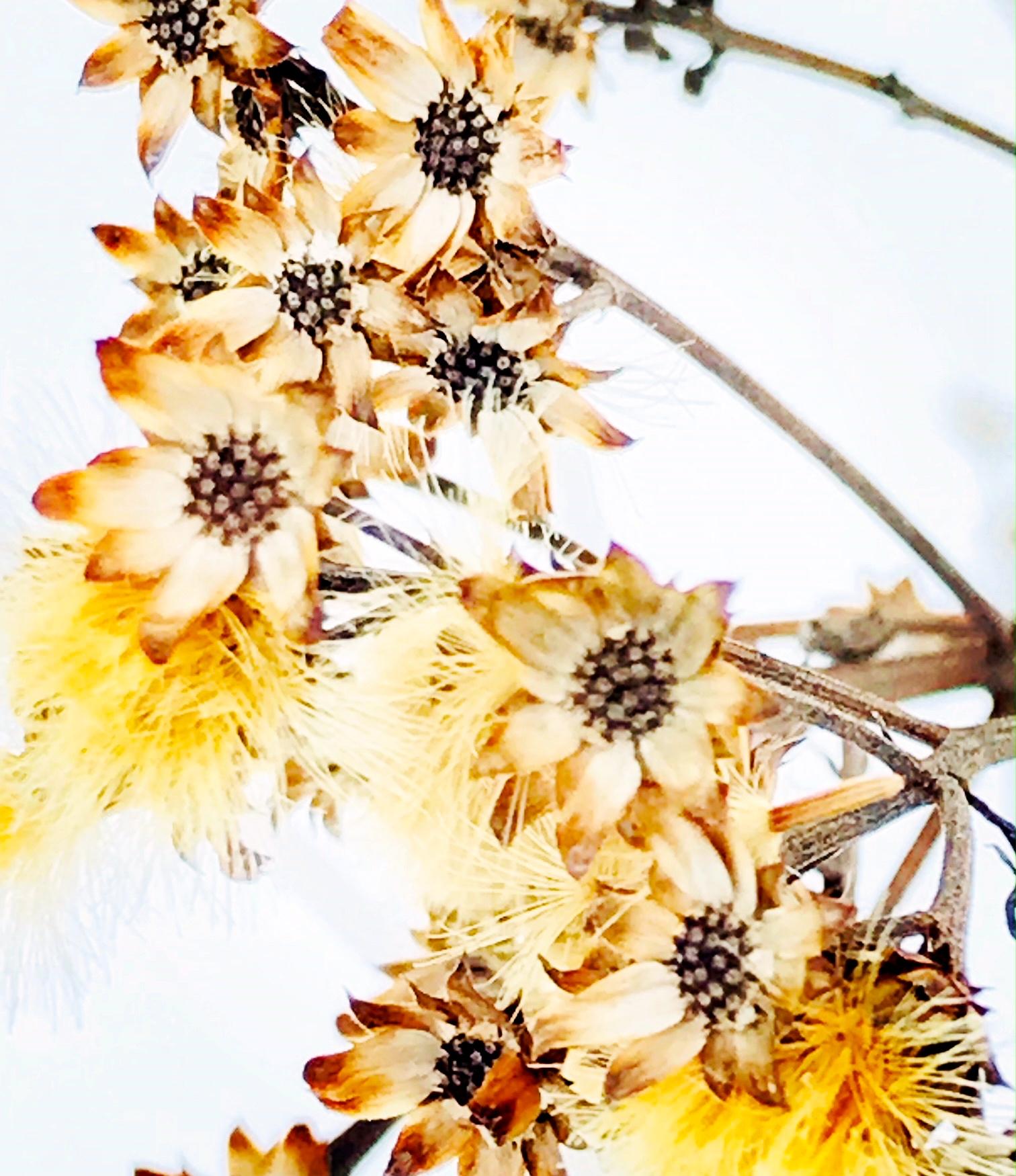 Dry flowers in snowy meadow