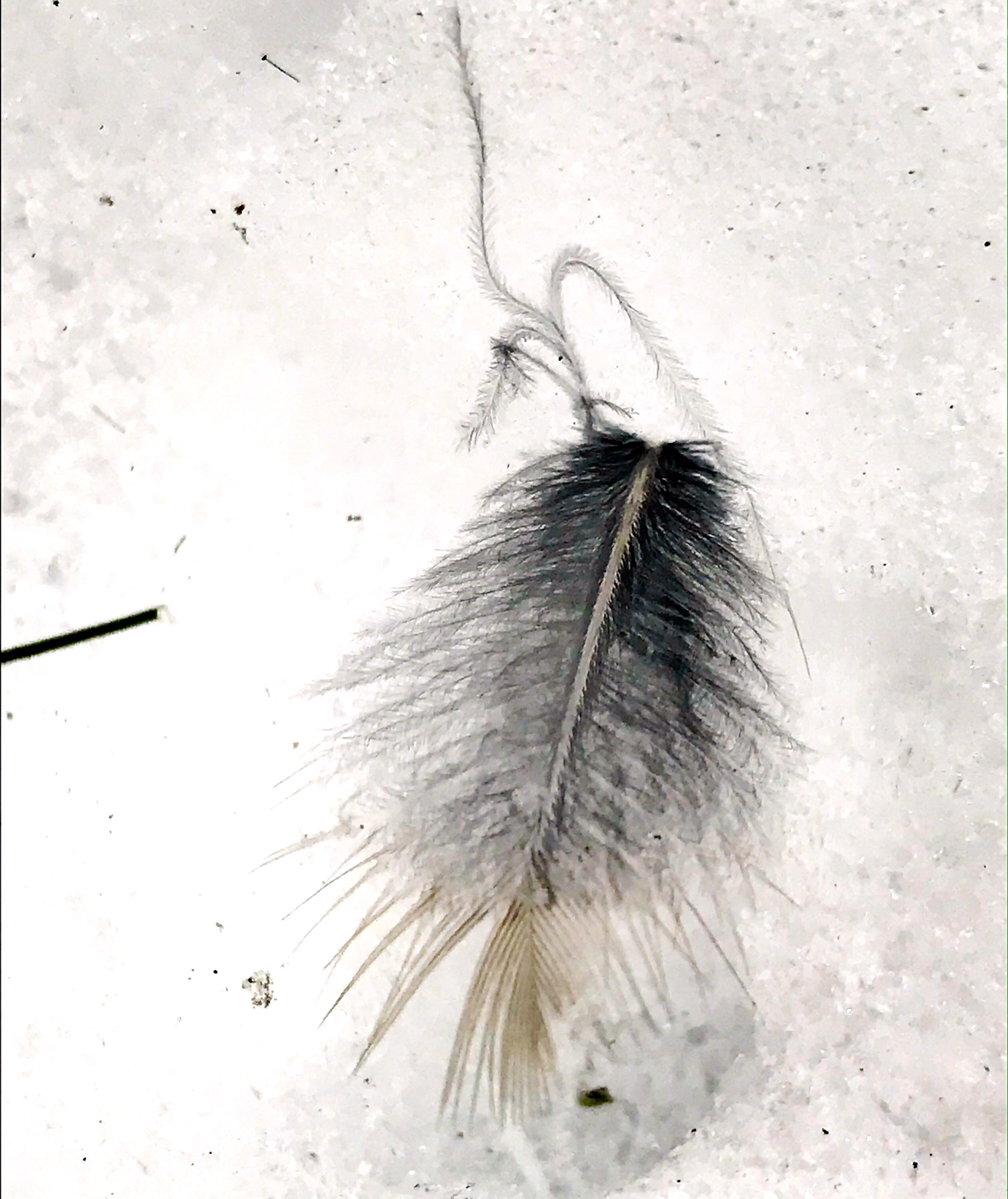 Feather found lying in snow footprint, Rocky Narrows woods