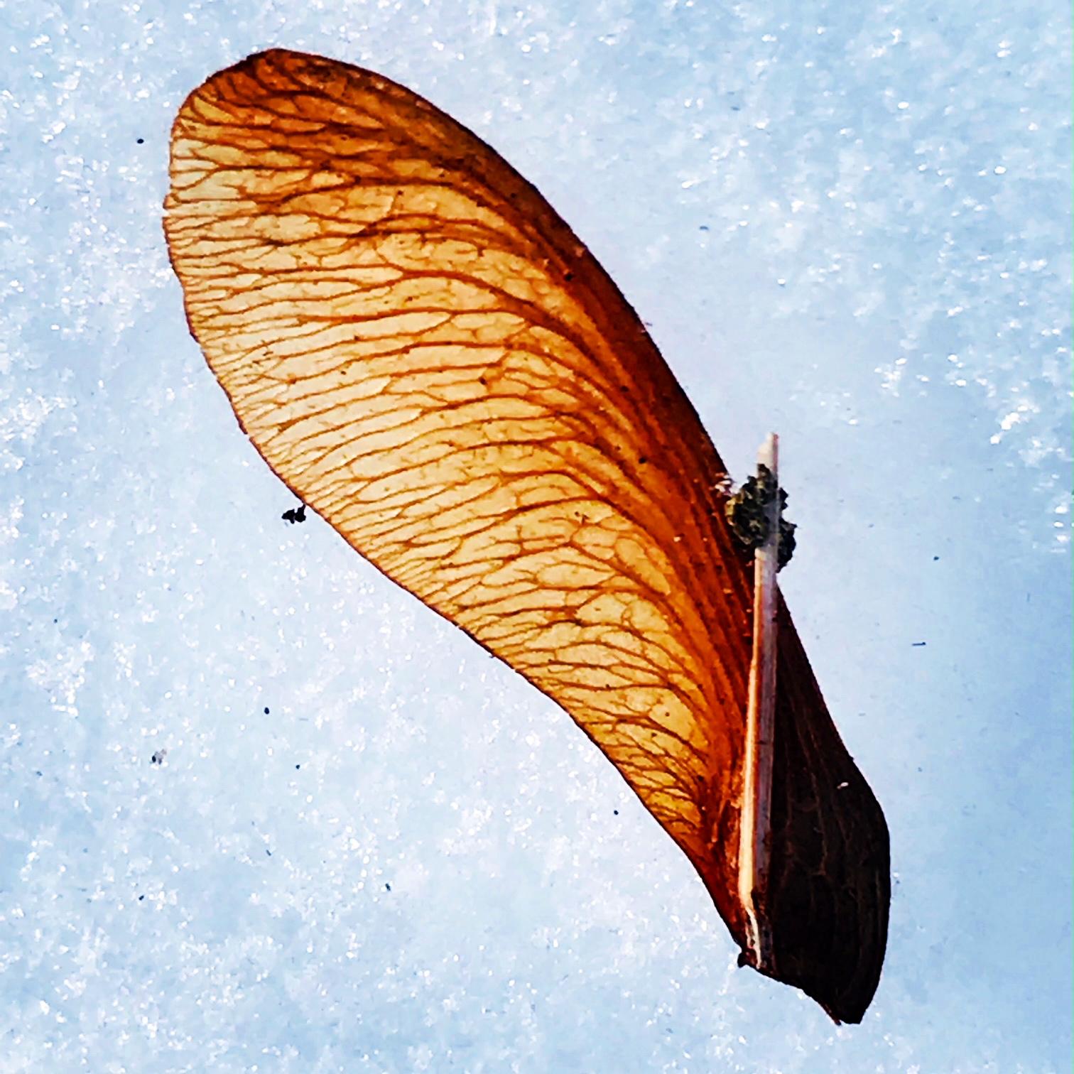 maple wing on snow.JPG