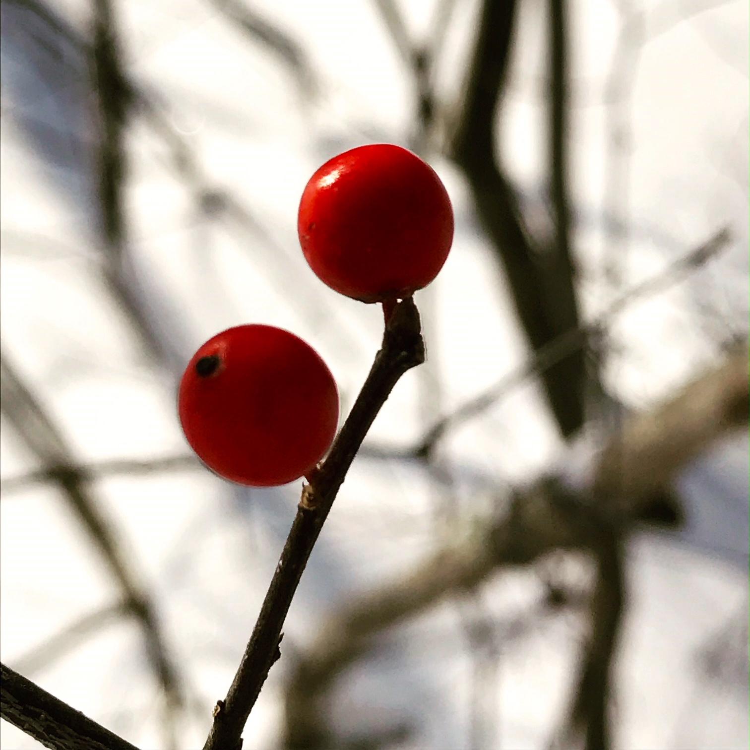 Berries in new snow
