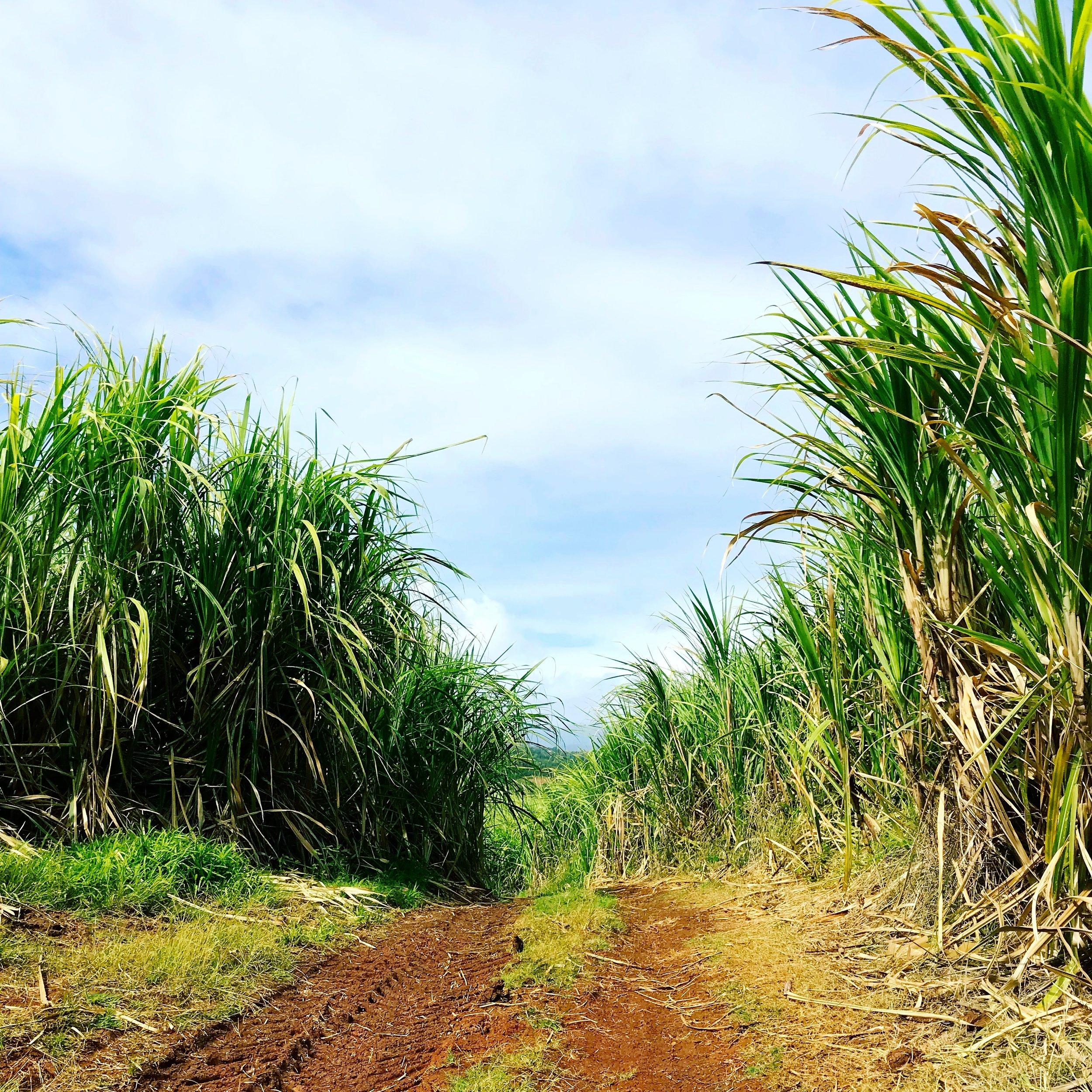 sugar cane path le robert.JPG