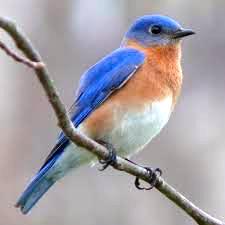 Eastern Bluebird, Wikimedia