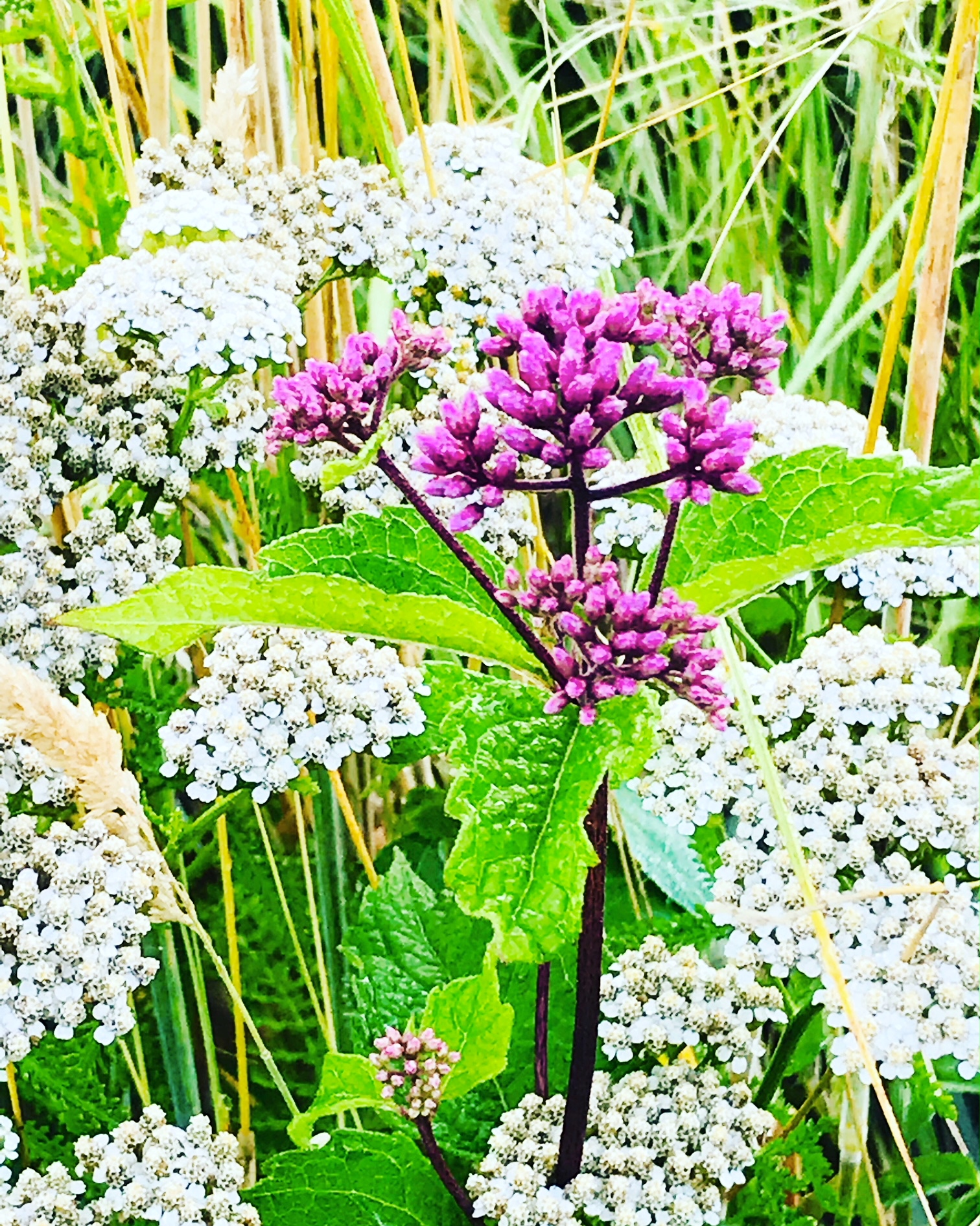 Milkweed in the Yarrow by the Brook