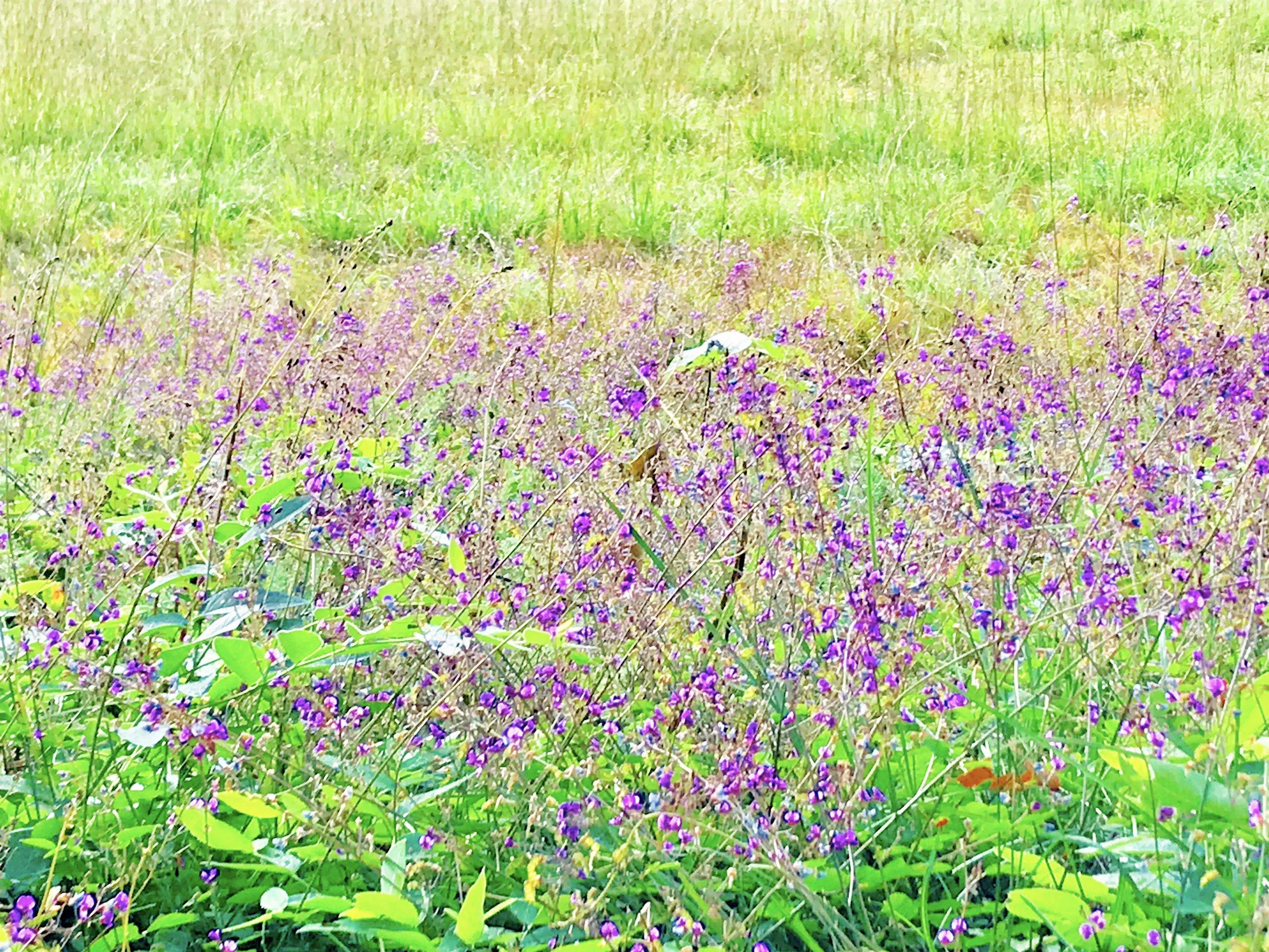 Purple Meadow.jpg