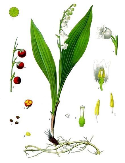 440px-Convallaria_majalis_-_Köhler–s_Medizinal-Pflanzen-045.jpg