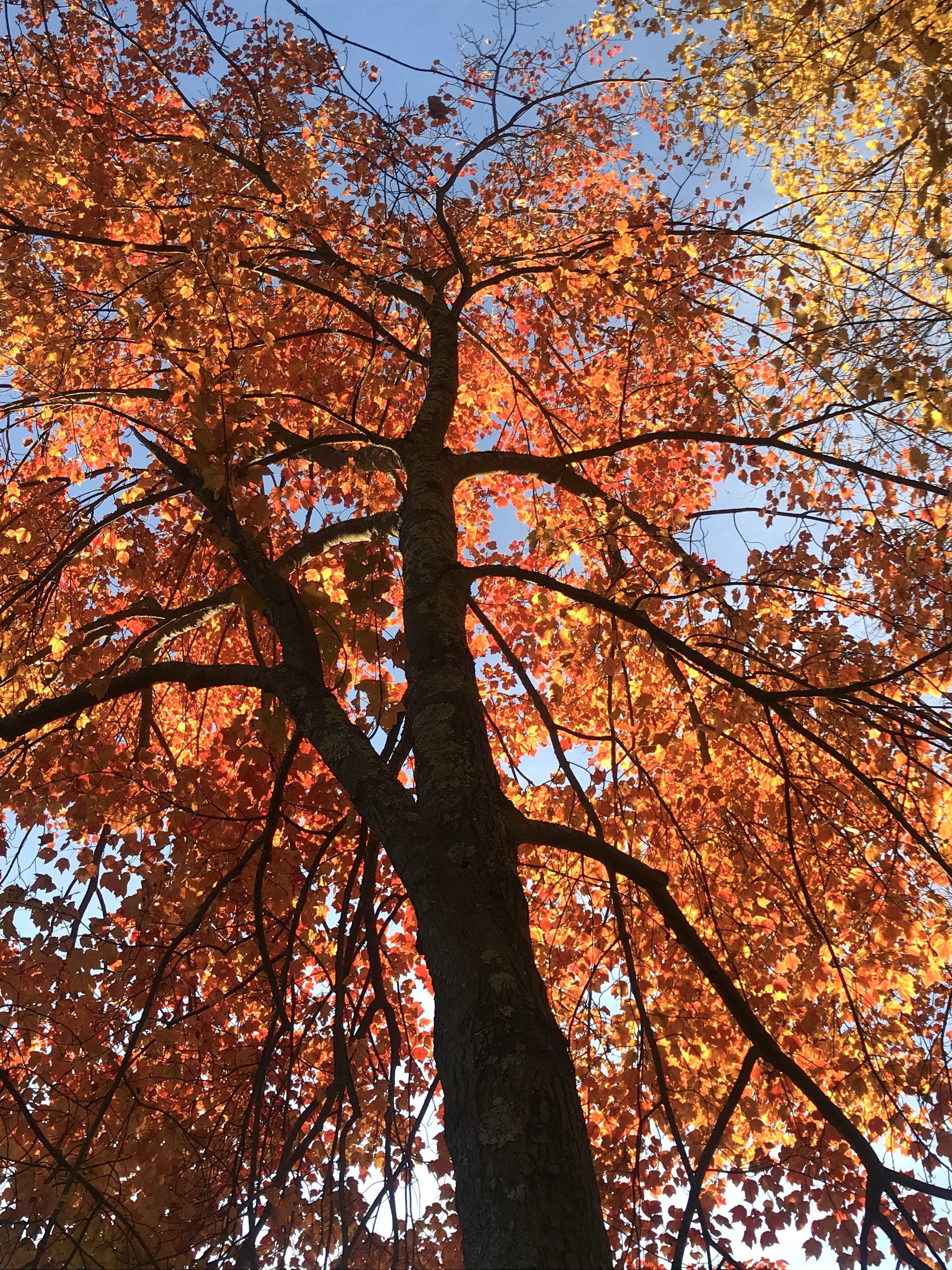 Orange Fire Tree, Charles River