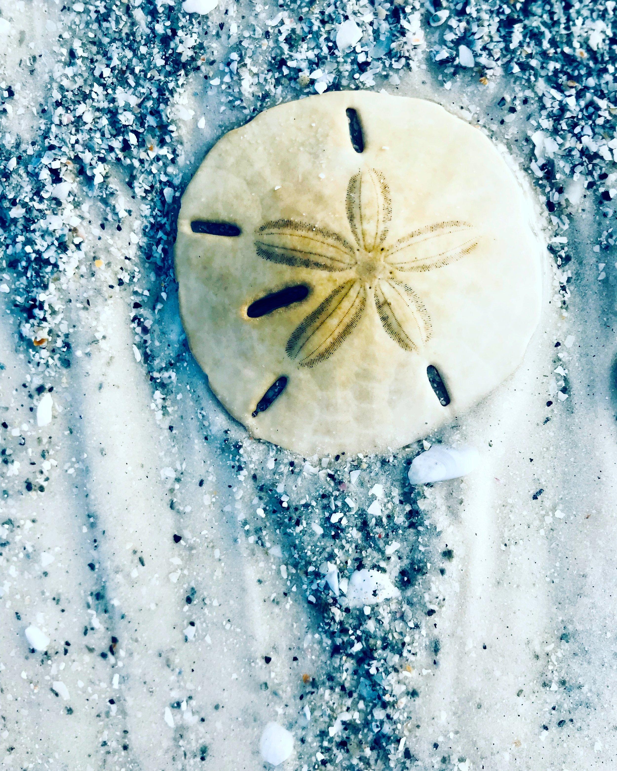sand dollar sand.JPG