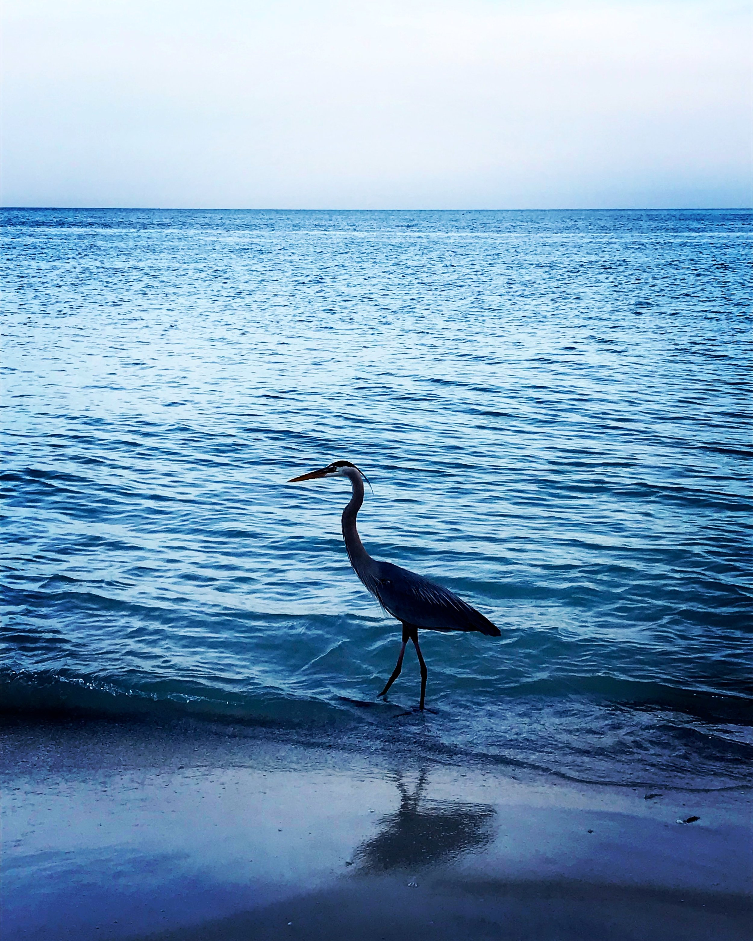 Great Blue Heron, Gulf of Mexico