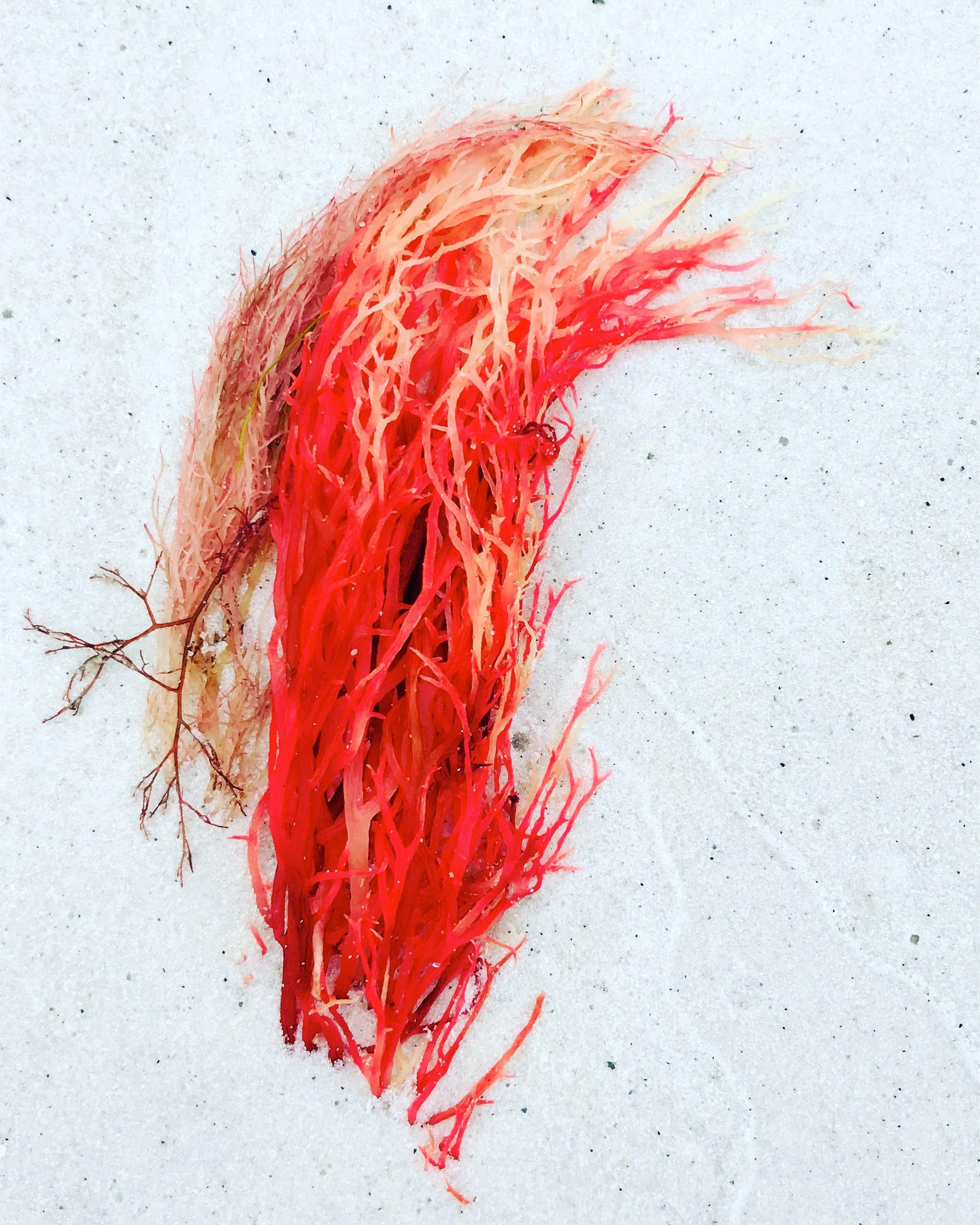 red seaweed.JPG