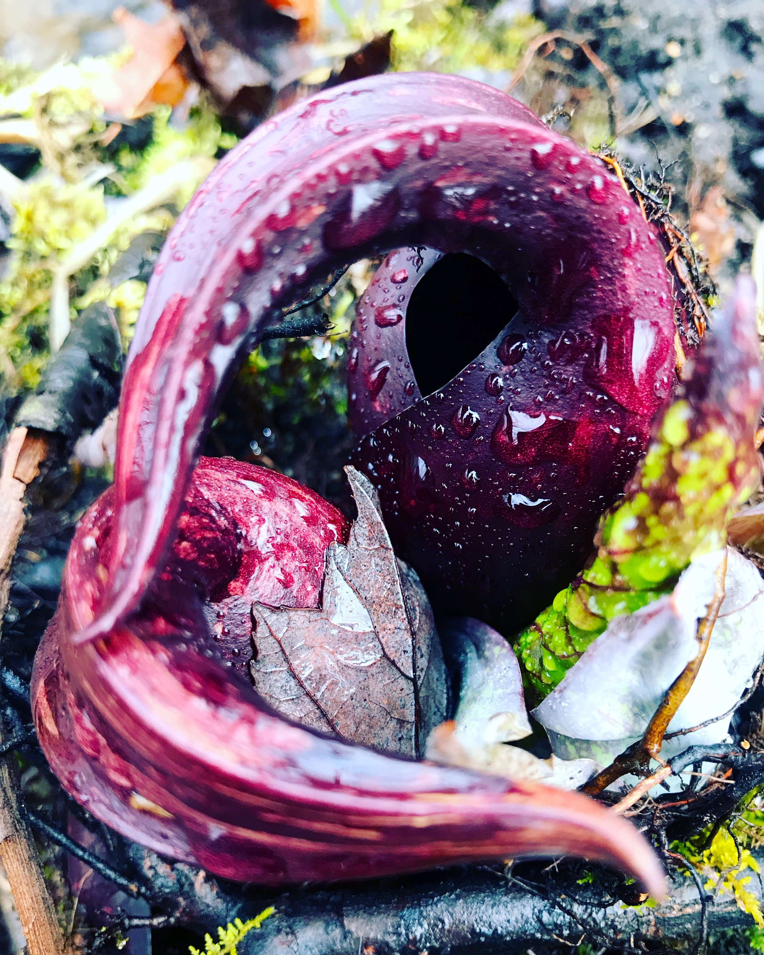 Skunk cabbage in the wetlands