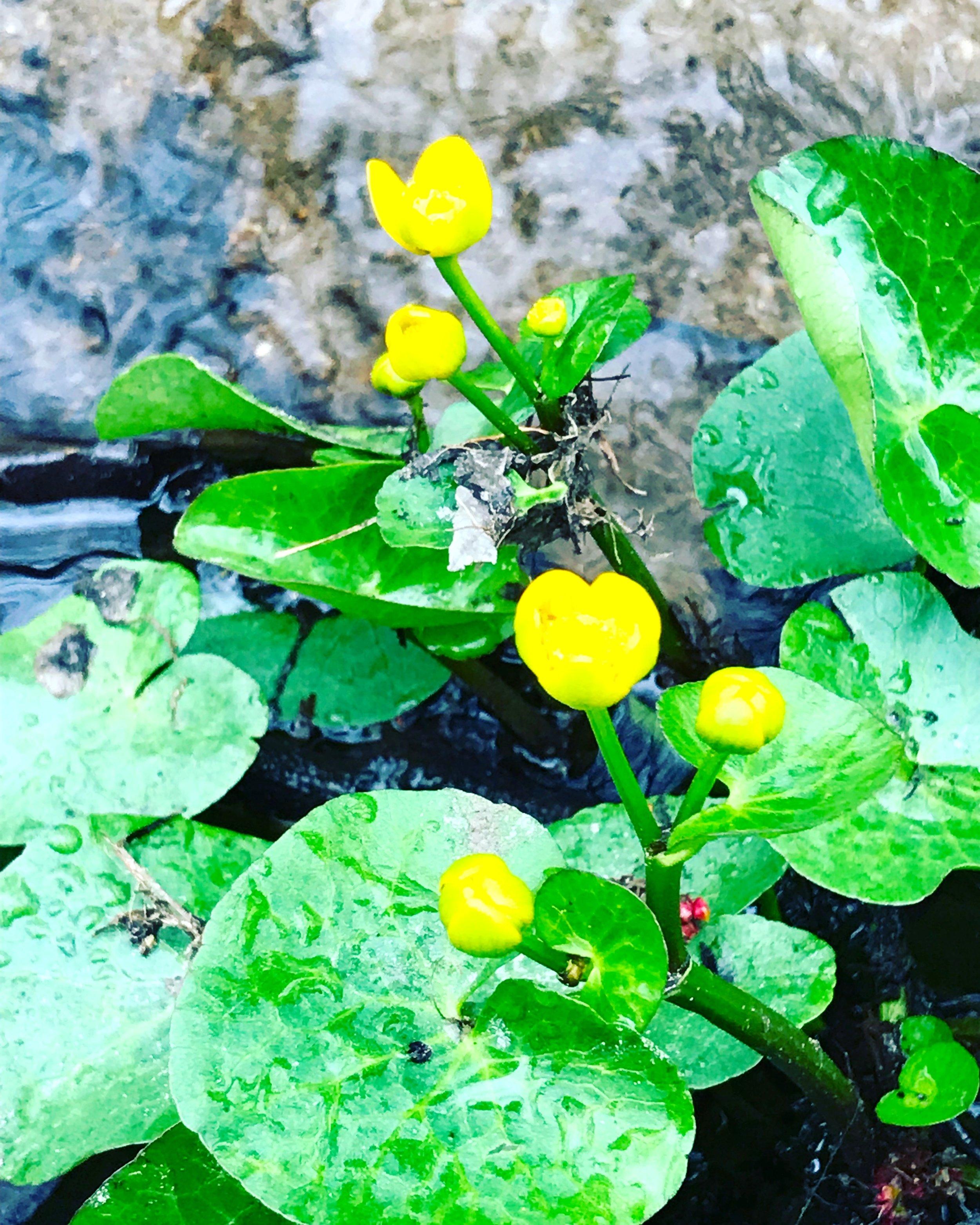 Marsh Marigold, Morning Brook