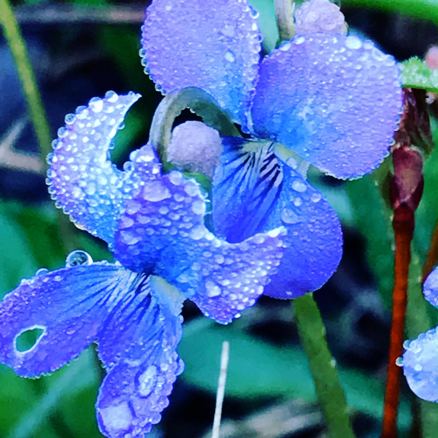 Violets by the swamp after rain