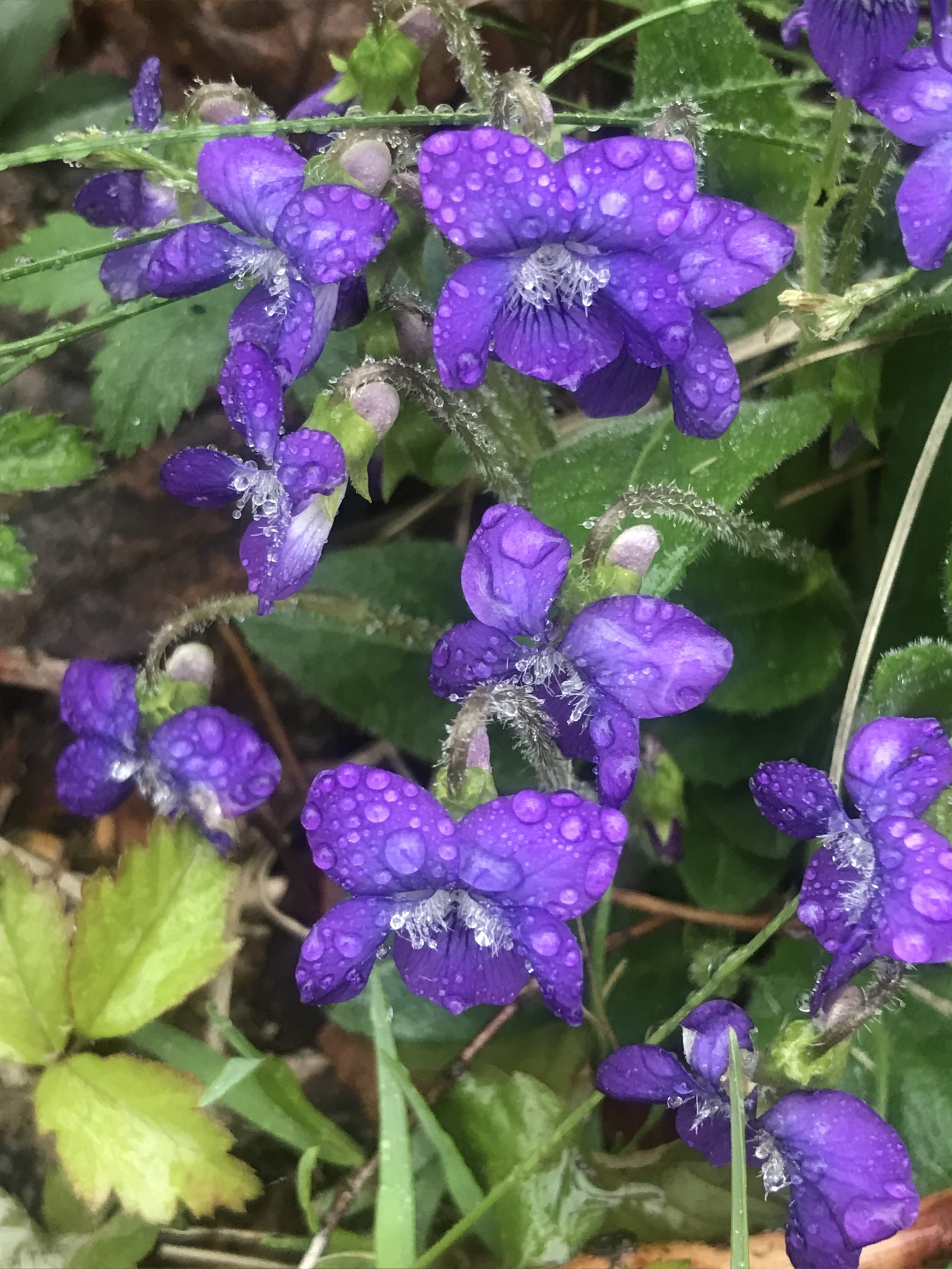 Rainy Woodland Violets