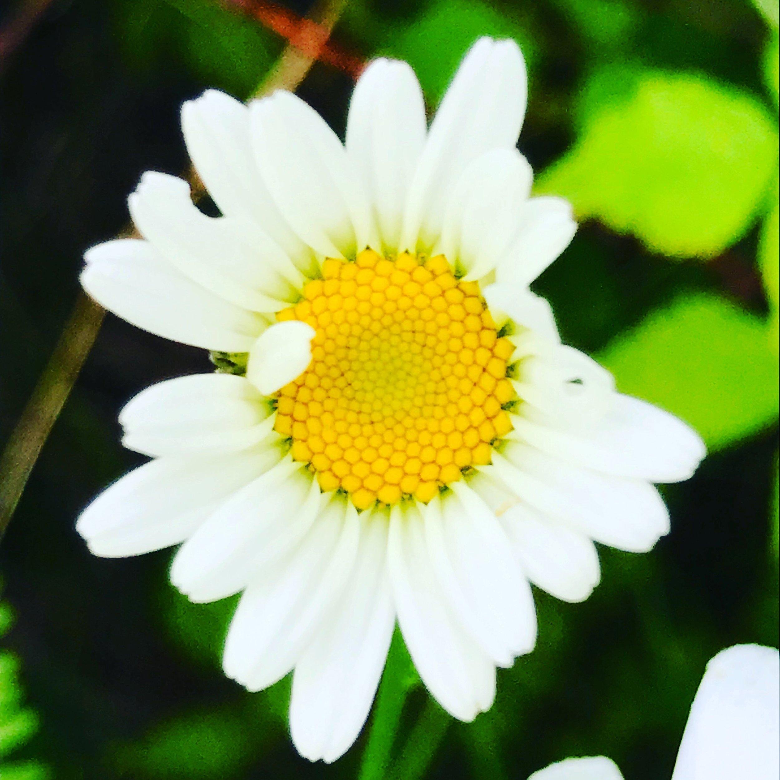winking daisy.JPG