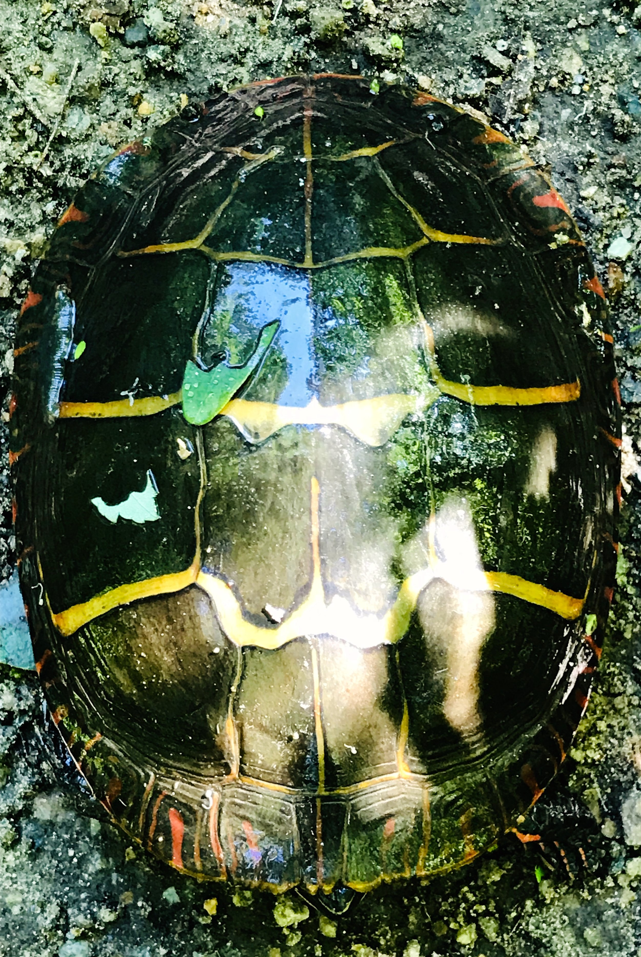 Painted turtle with blue sky reflection