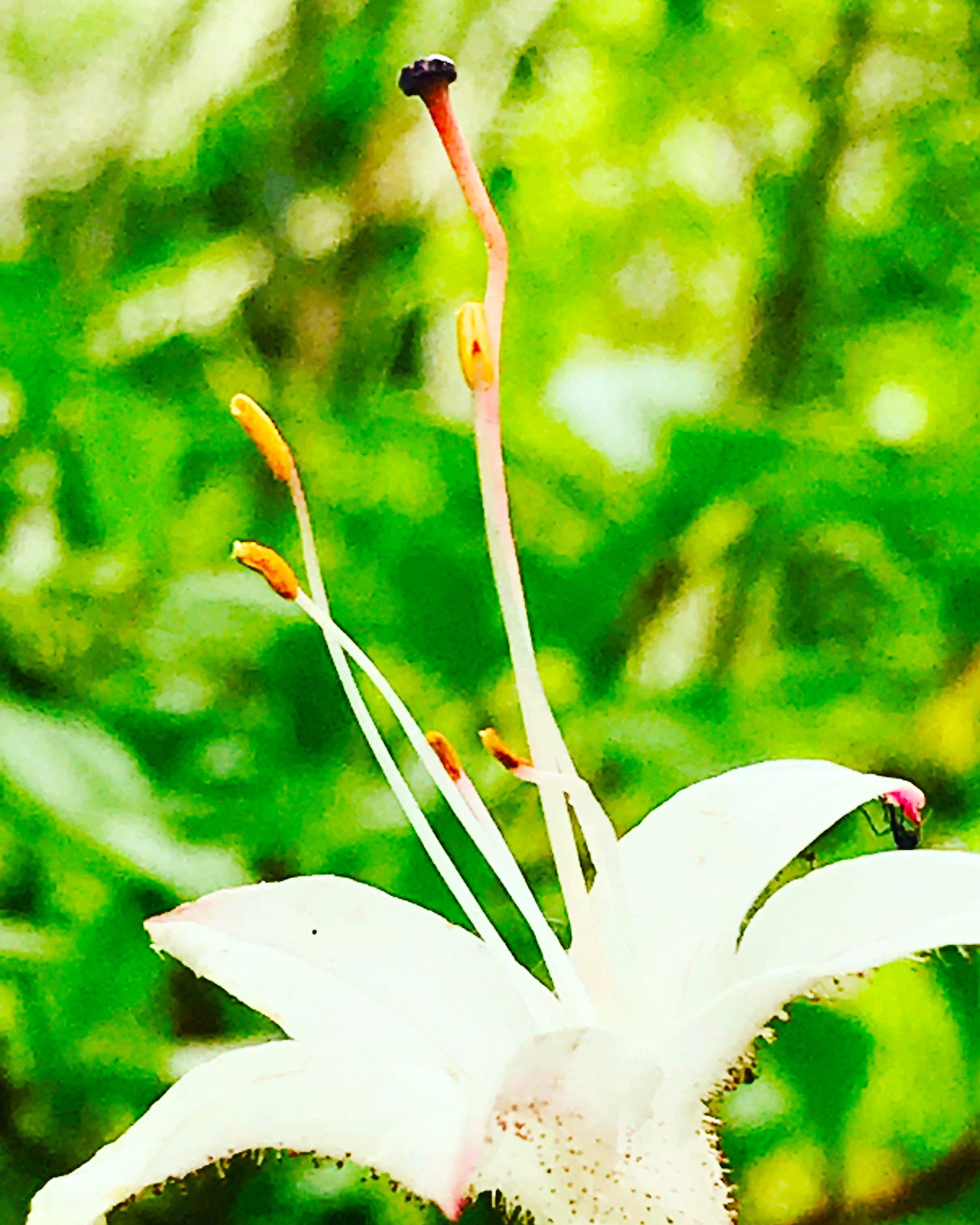 Wild Azalea, Rhododendron Canescens