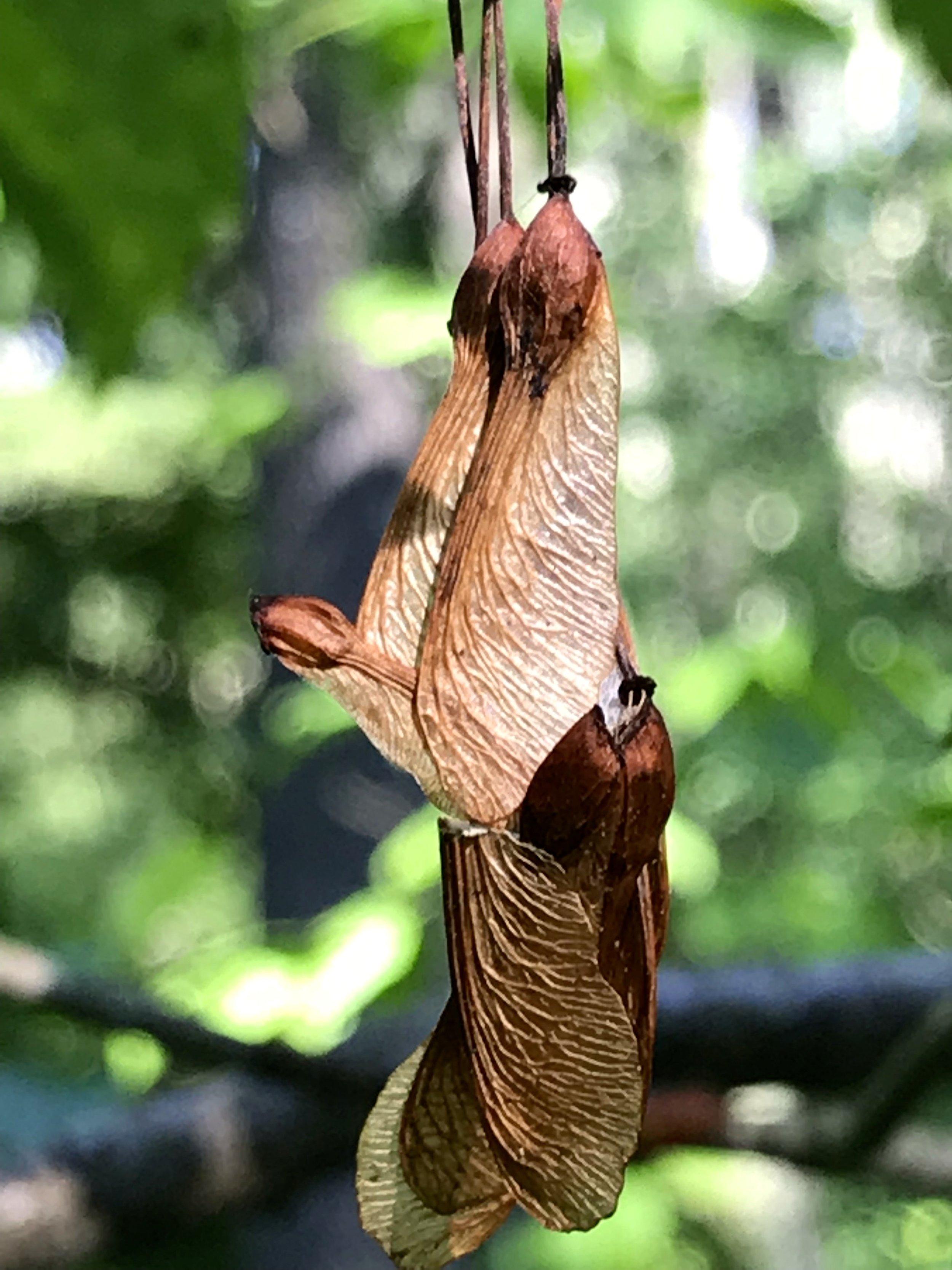 maple wings.jpg