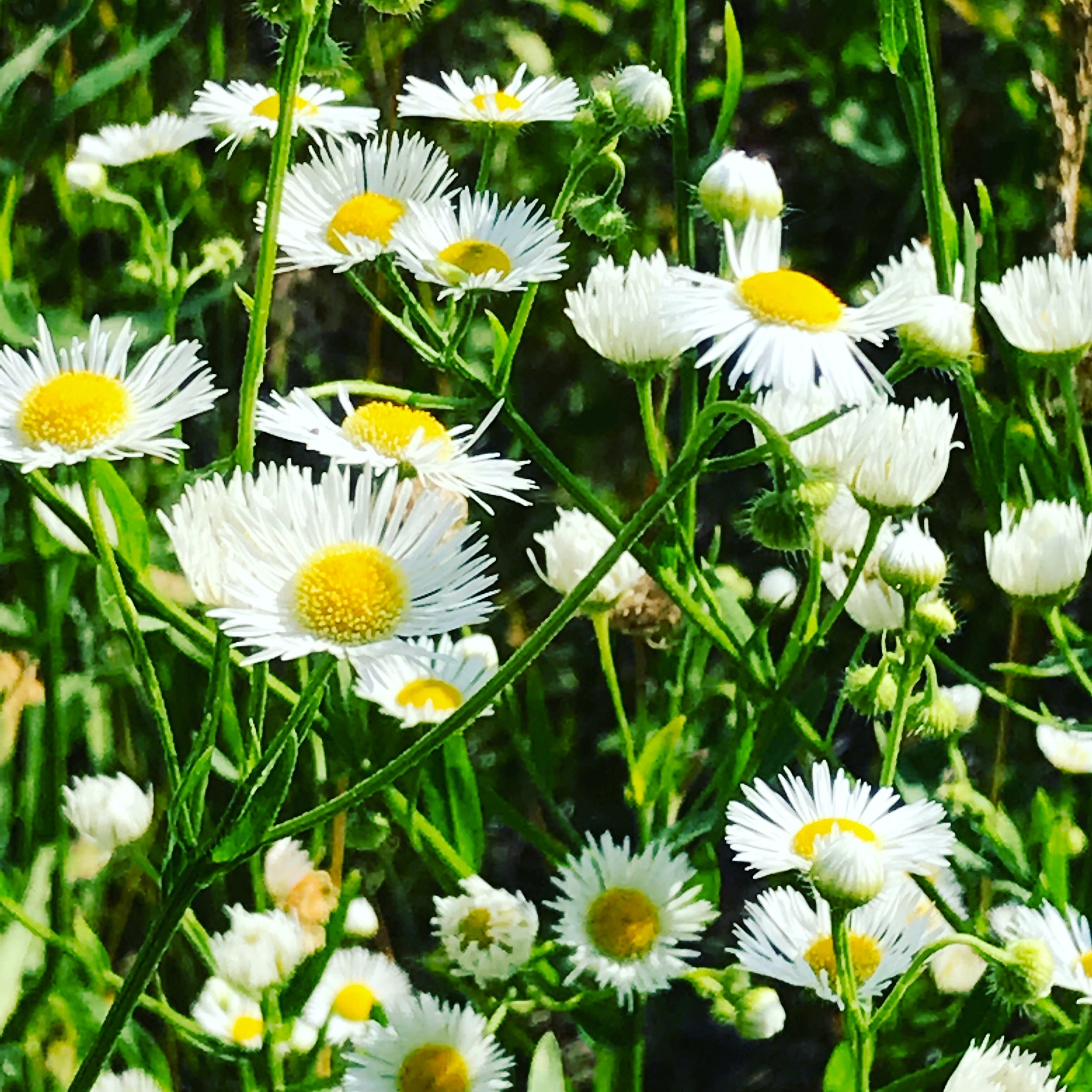 Daisy fleabane in the morning meadow