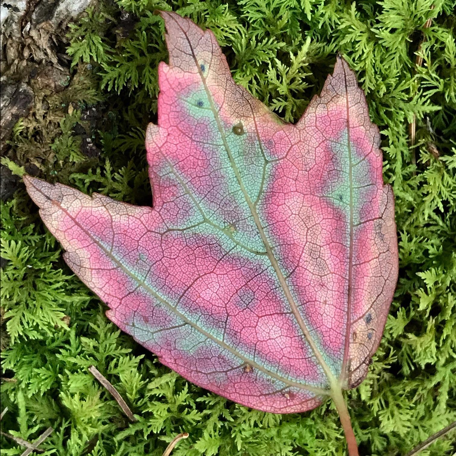 leaf moss.JPG