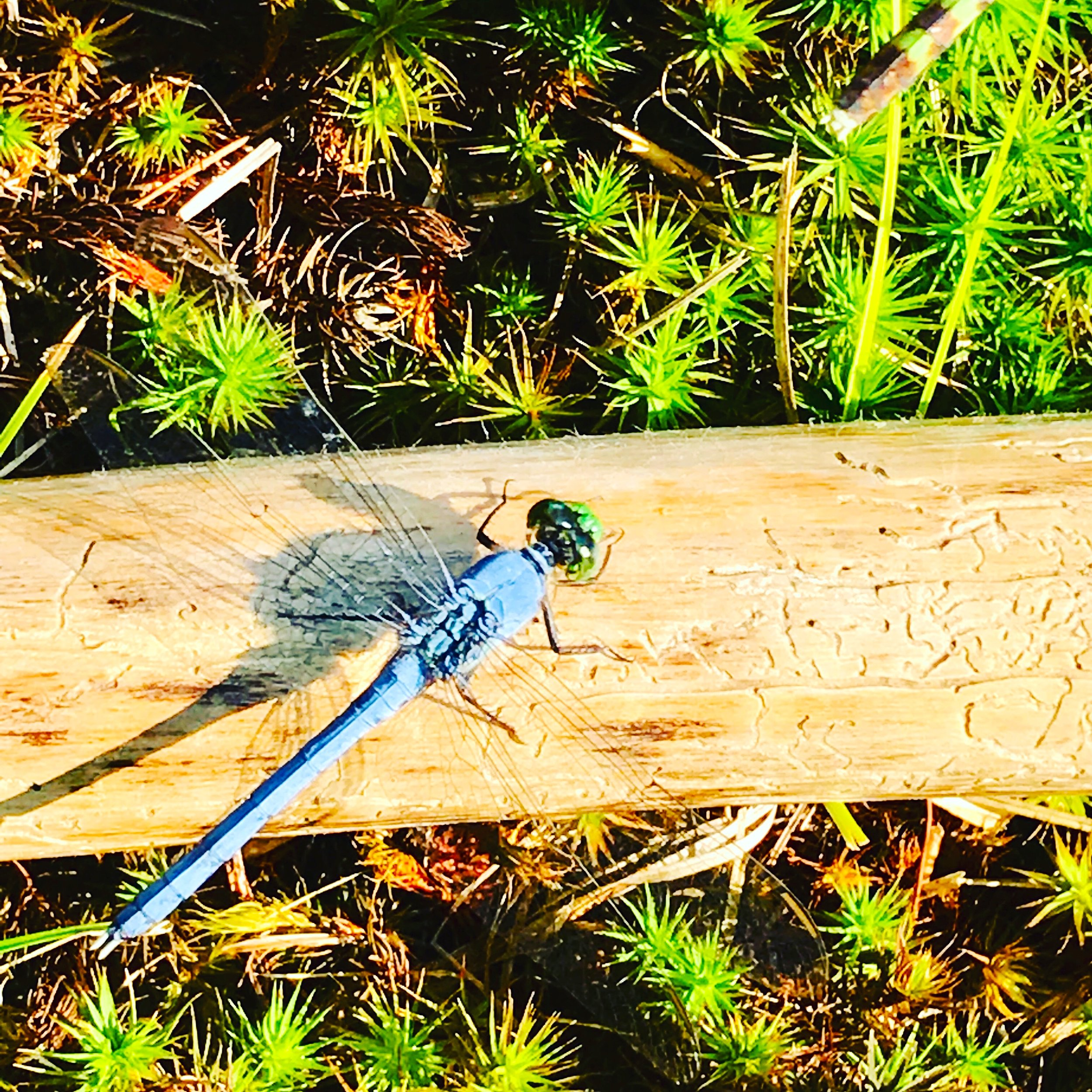 Dragonfly on my walking stick in the meadow