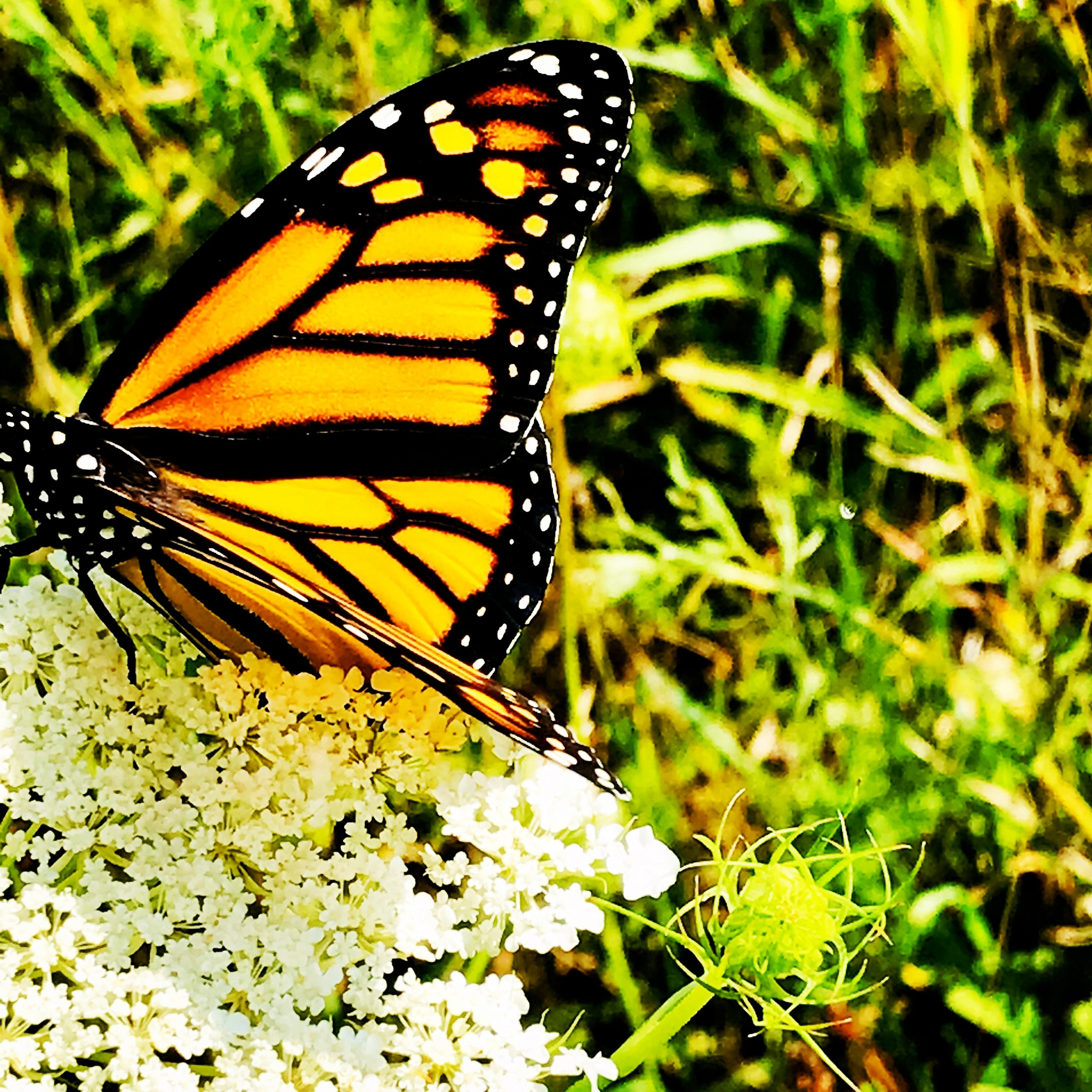 Monarch butterfly on Queen Anne's Lace in the morning meadow