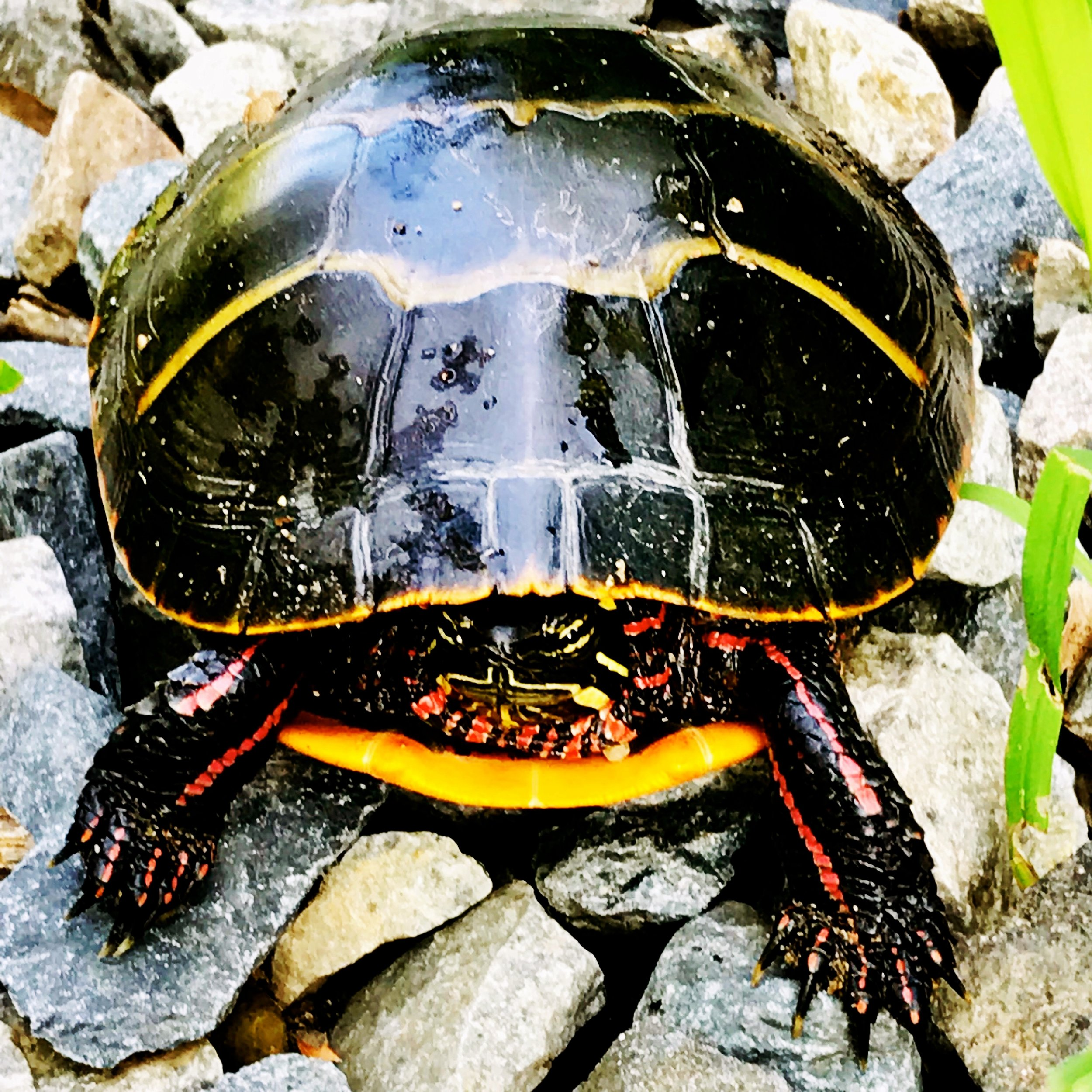 Painted turtle by the railroad tracks, Charles River