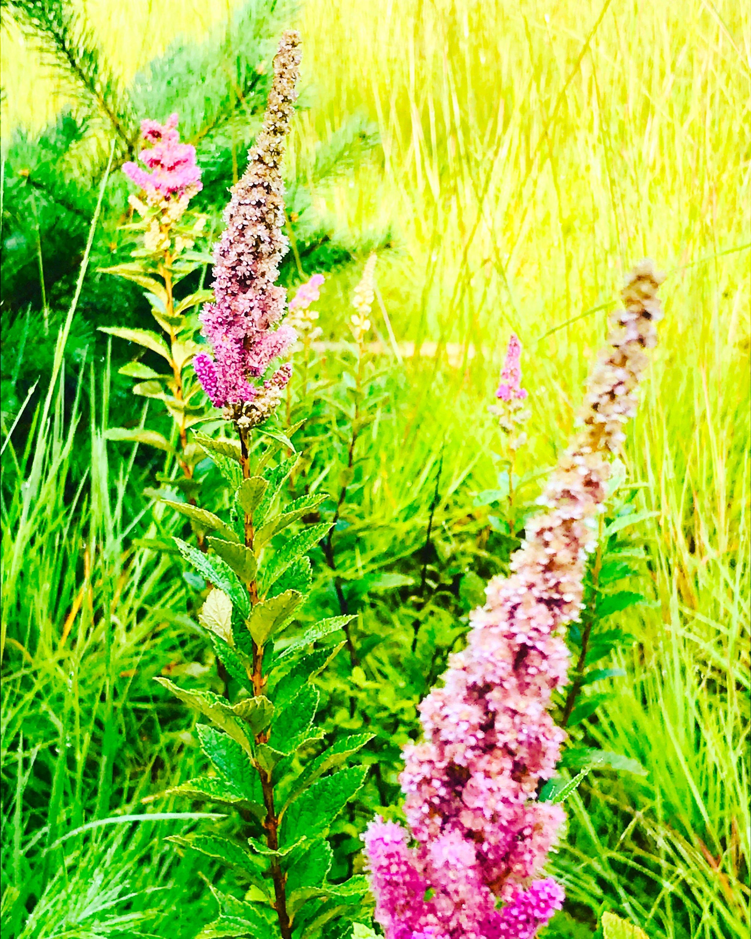 Rosy Meadowsweet in my morning meadow