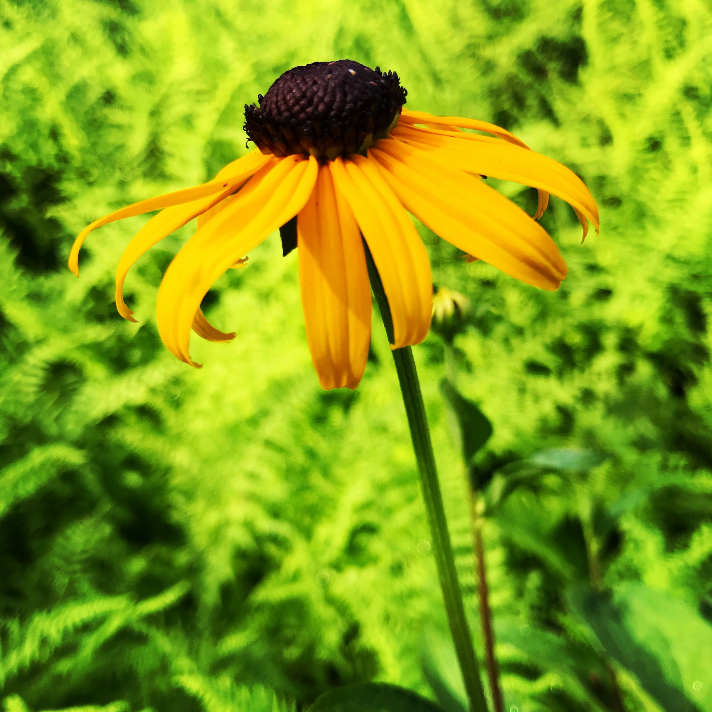 Black-eyed Susan and ferns my meadow