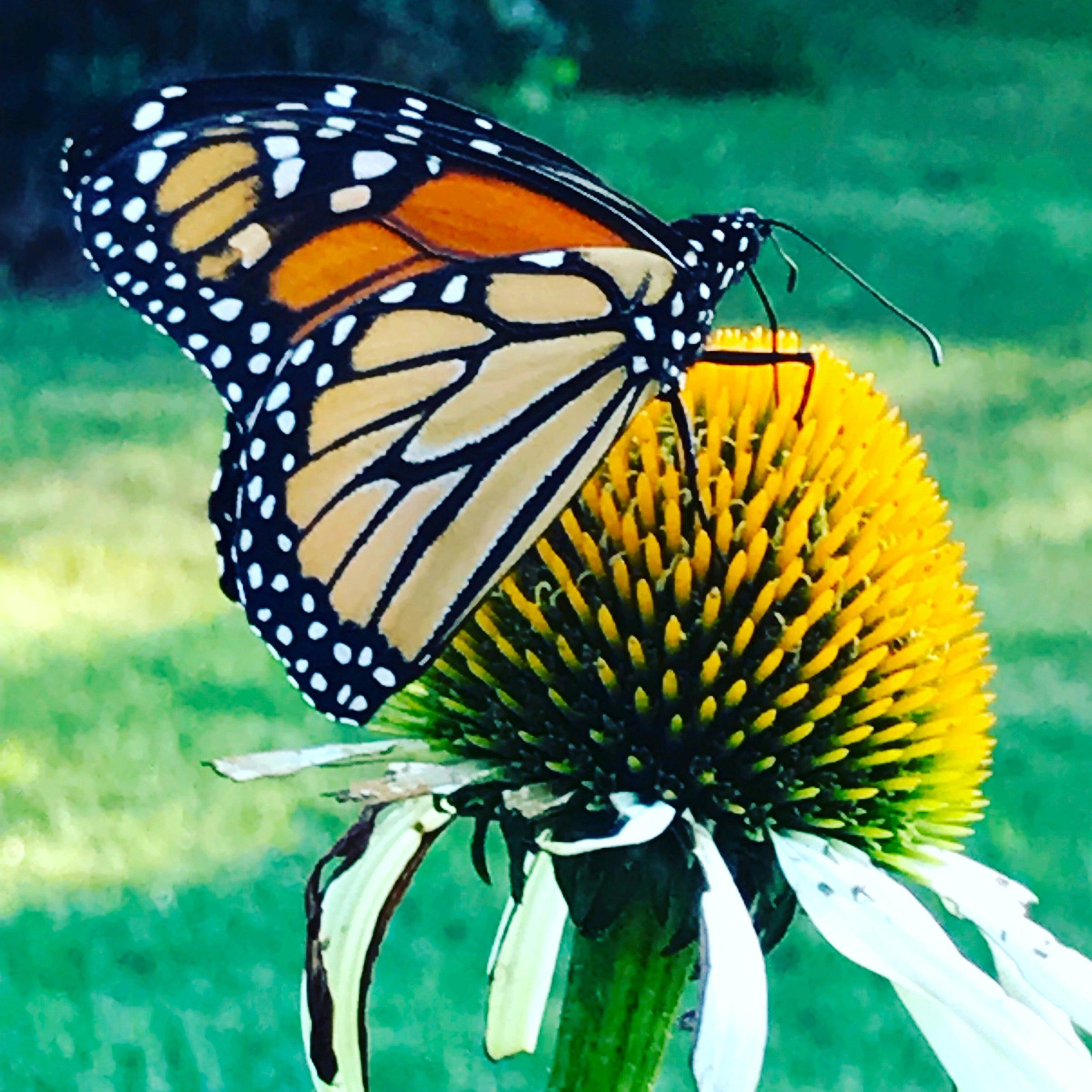 Monarch & Cone Flower, ©KellyDuMar 2019