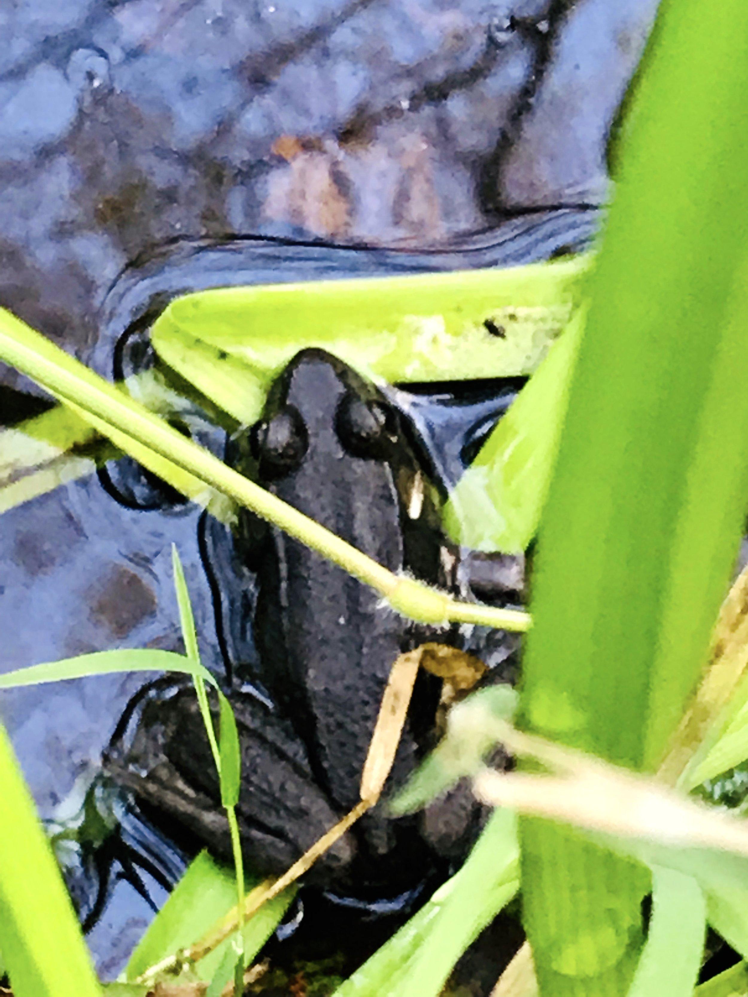 frog in swam.jpg
