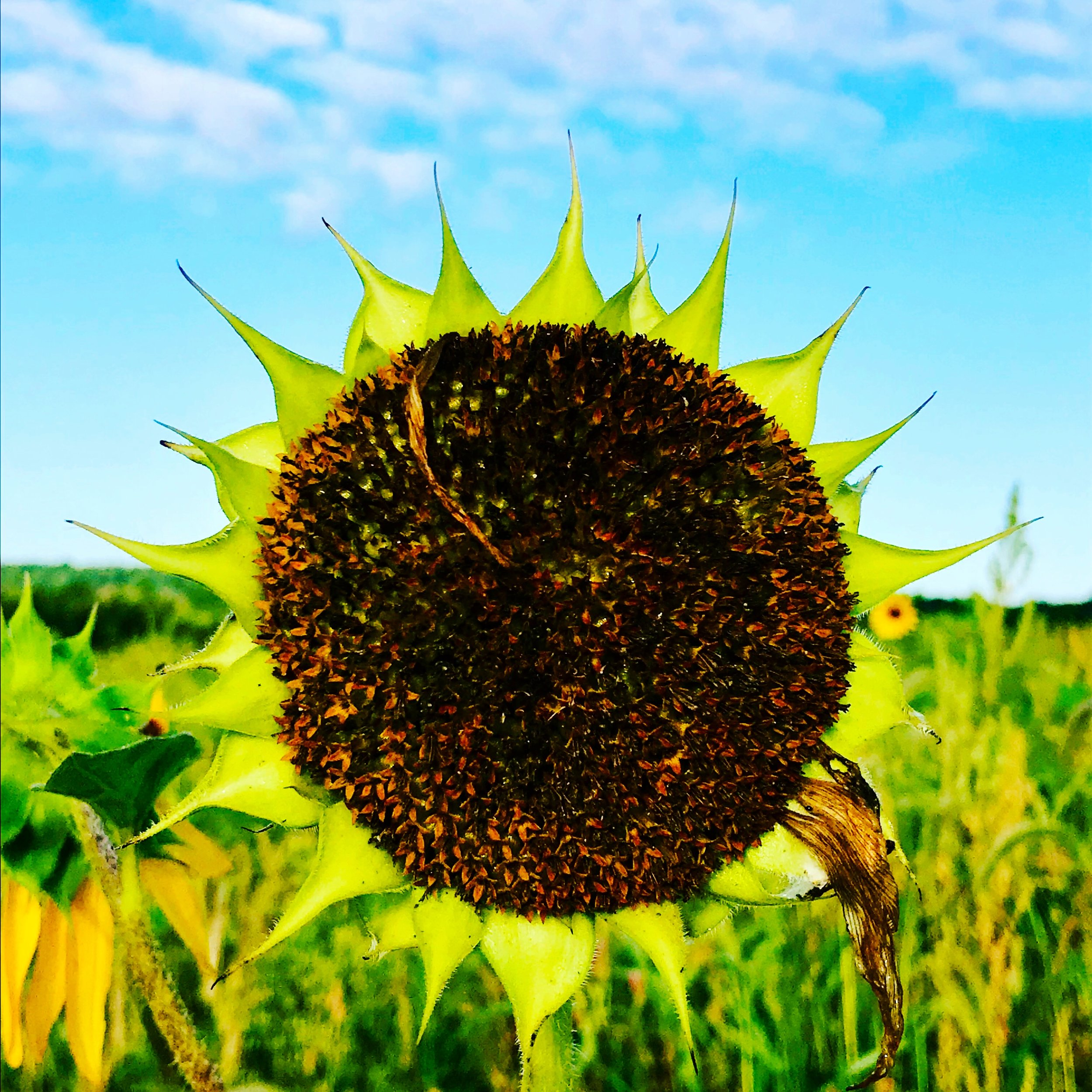 Sunflower without petals, meadow morning