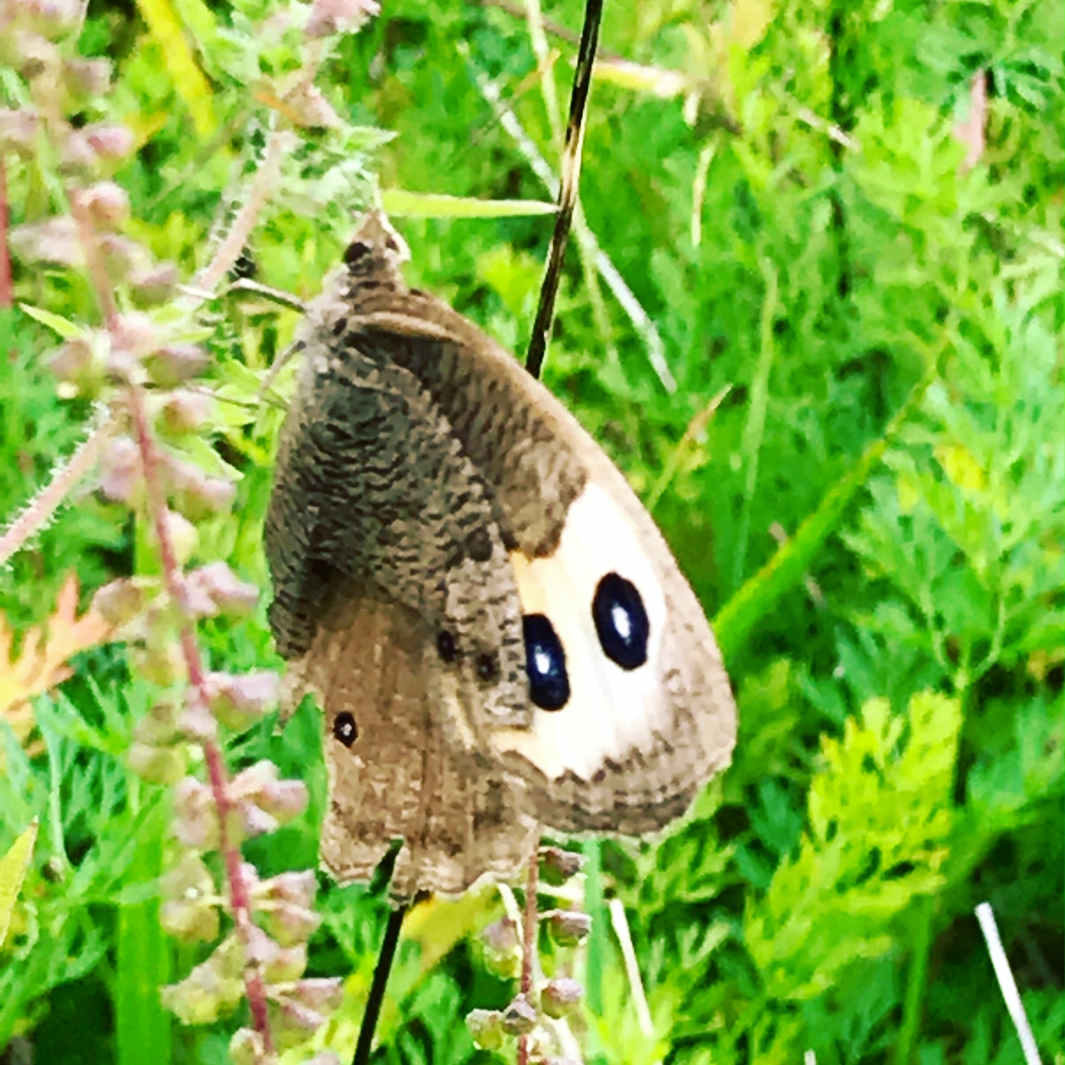common wood nymph butterfly.JPG