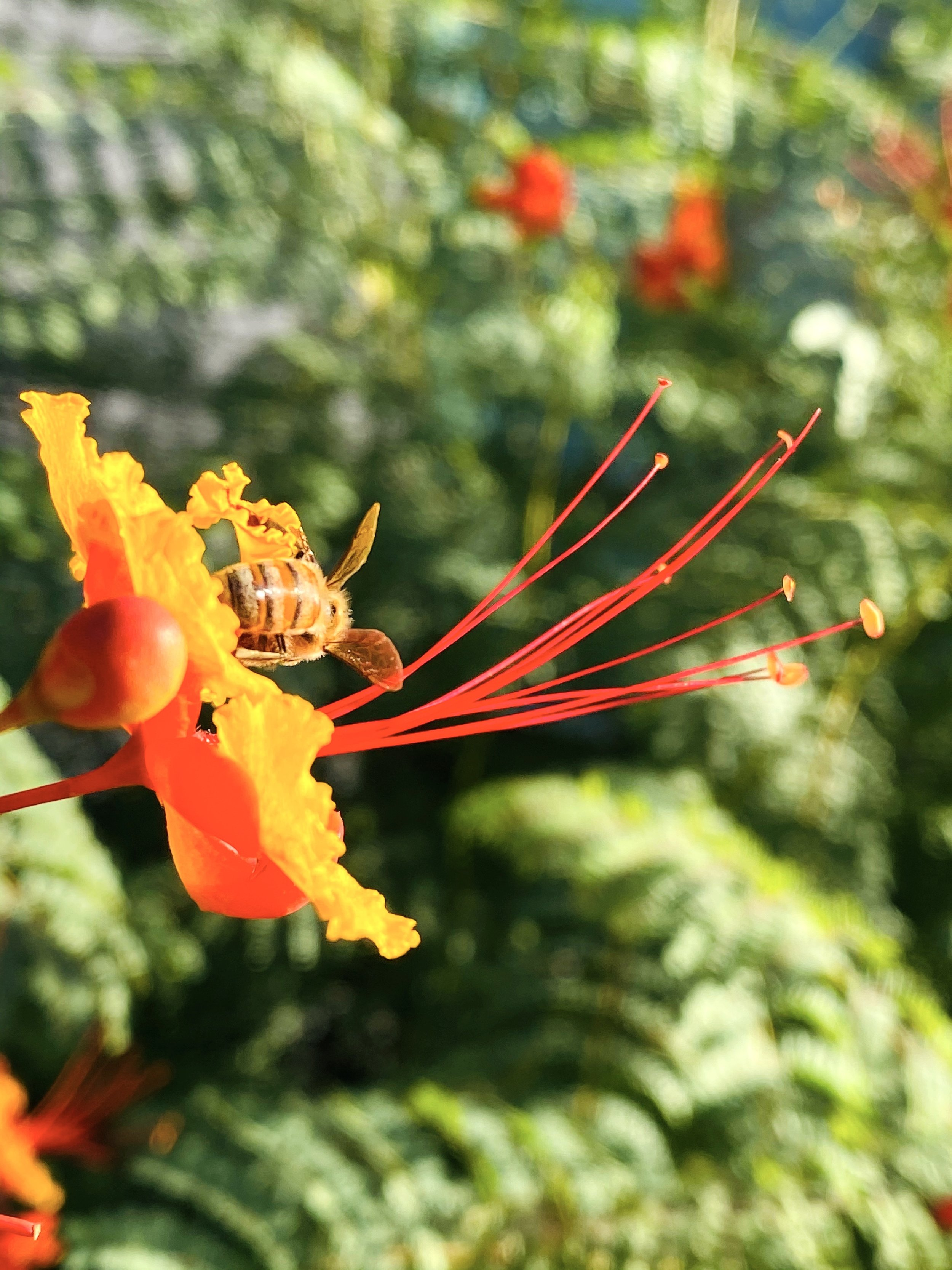 Bee on the Red Mexican Bird of Paradise Caesalpinia pulcherrima