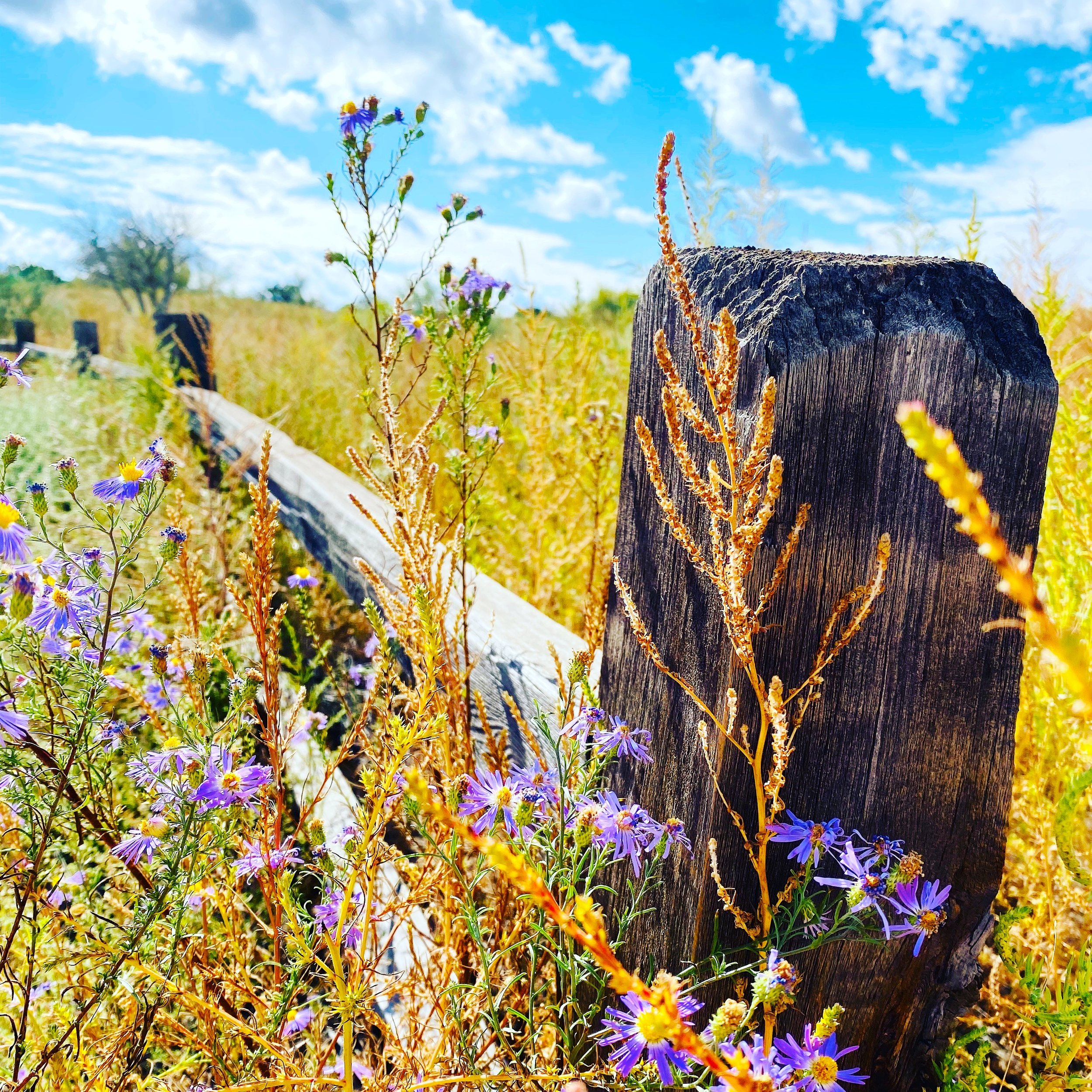 Flowers and Fence.JPG