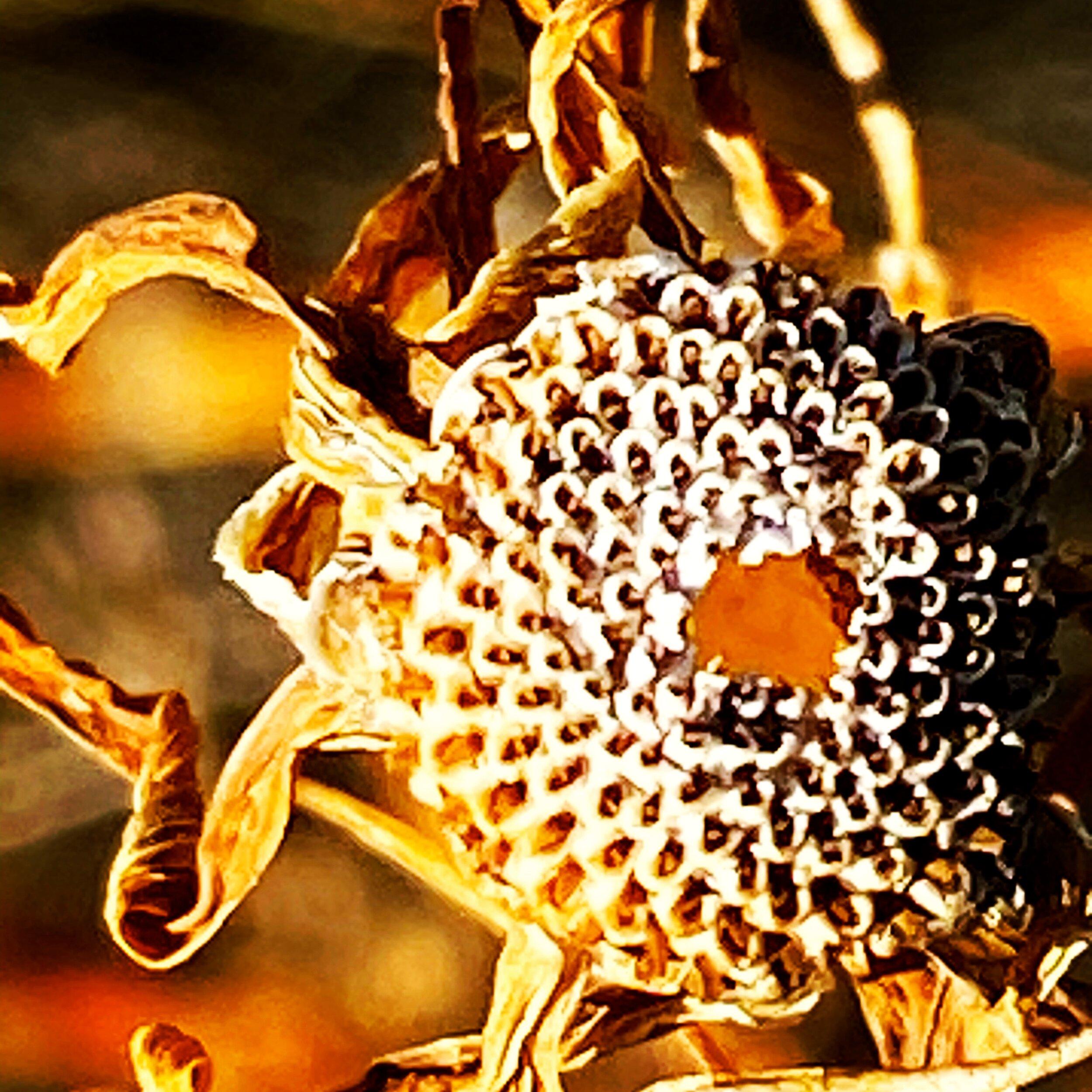 Sunflower of the desert