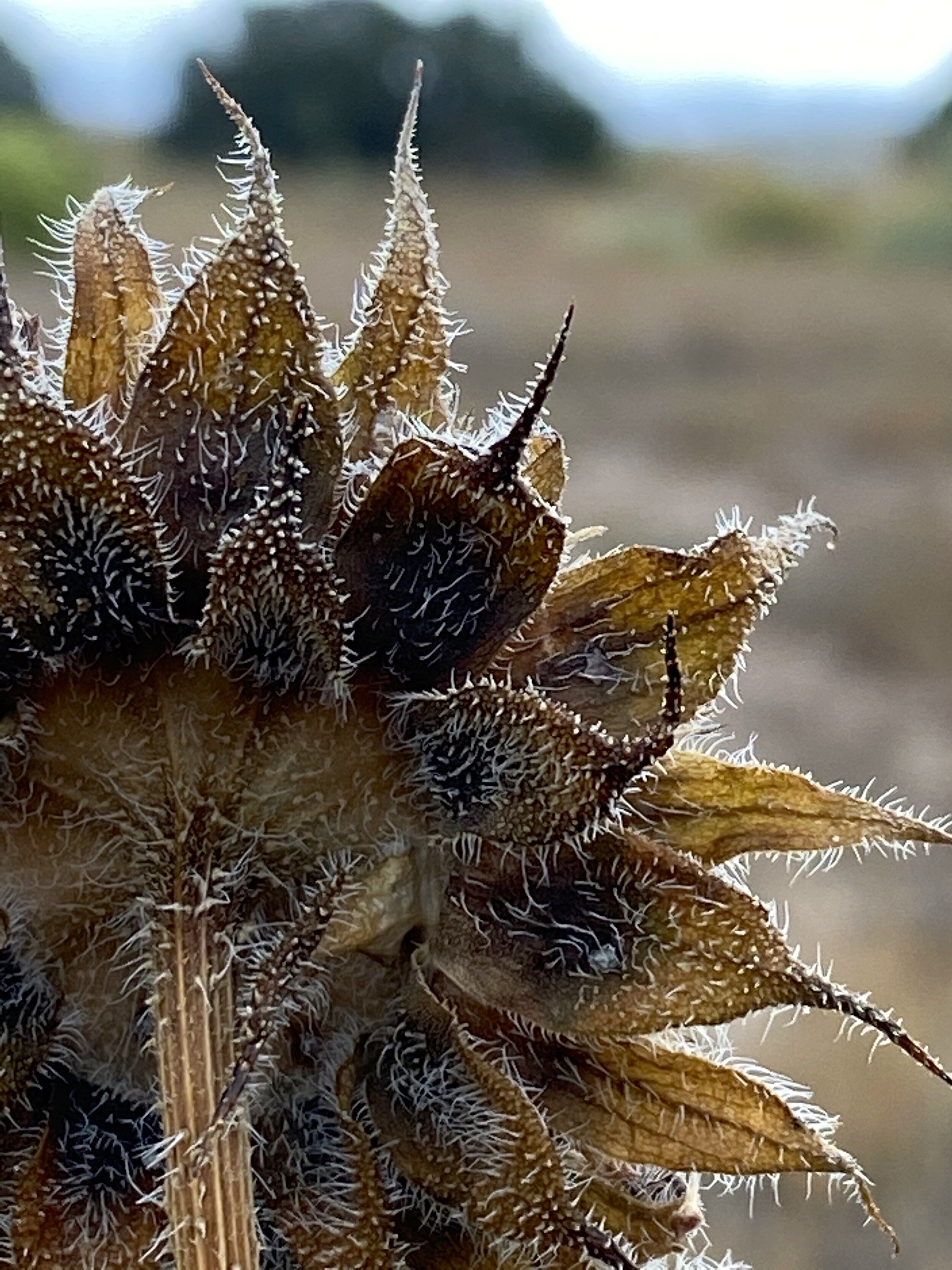 sunflower back.jpg