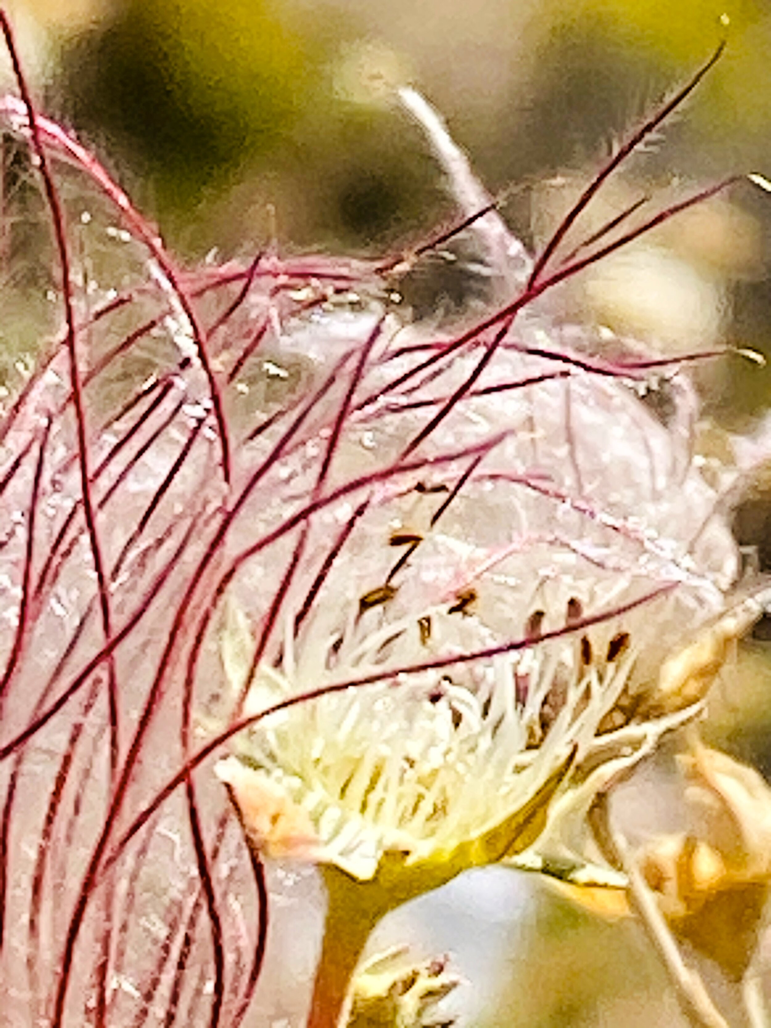 """Apache Plume - """"The ovary of the flower remains after the white petals fall away, leaving many plumelike lavender styles, each 3 to 5 centimeters long."""""""