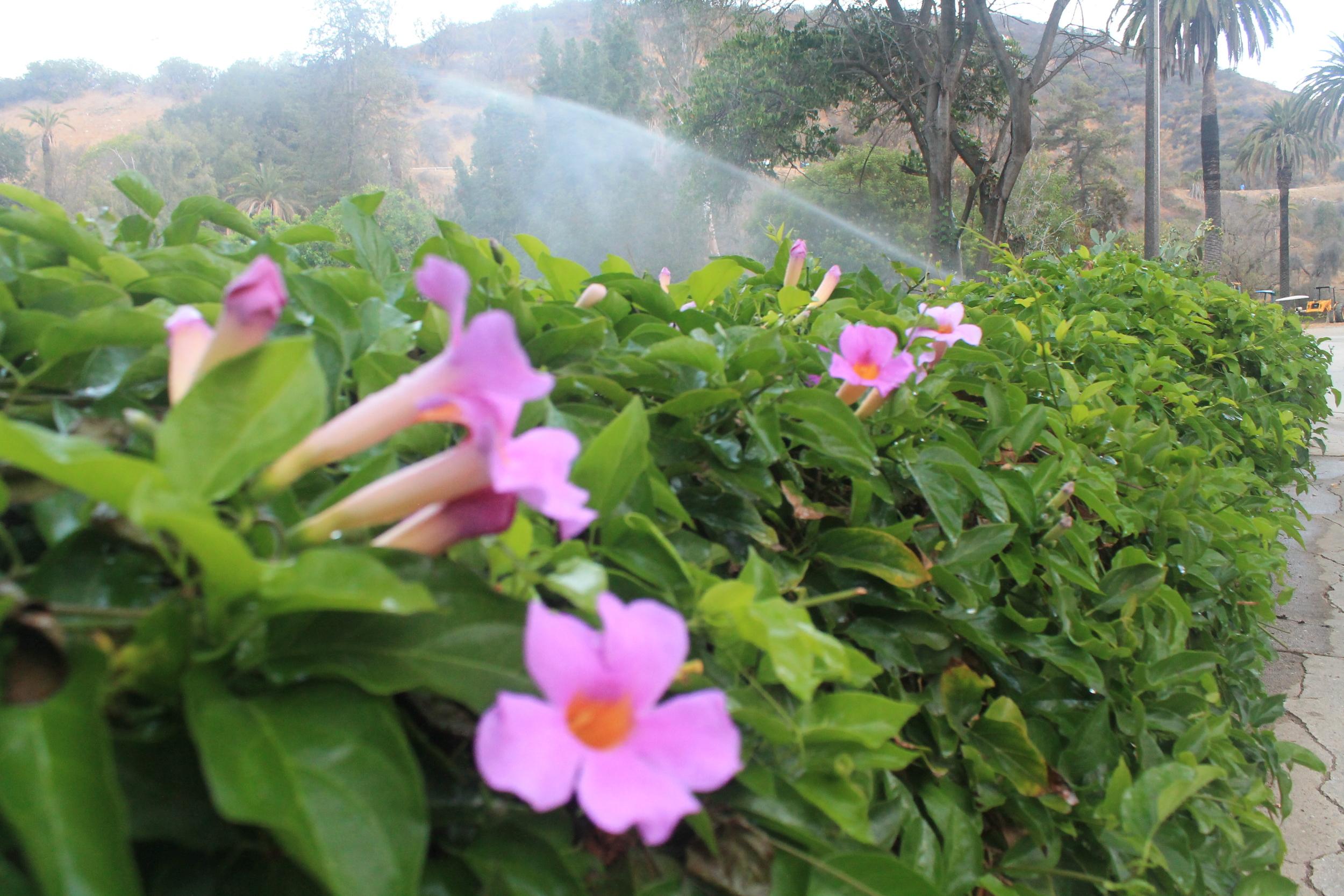flower and sprinkler.JPG