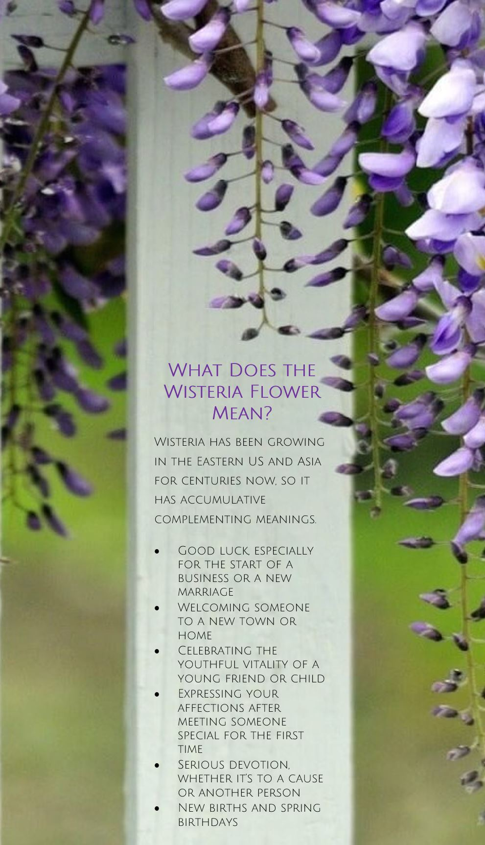 Card Side 1 (what does wisteria mean).jpg