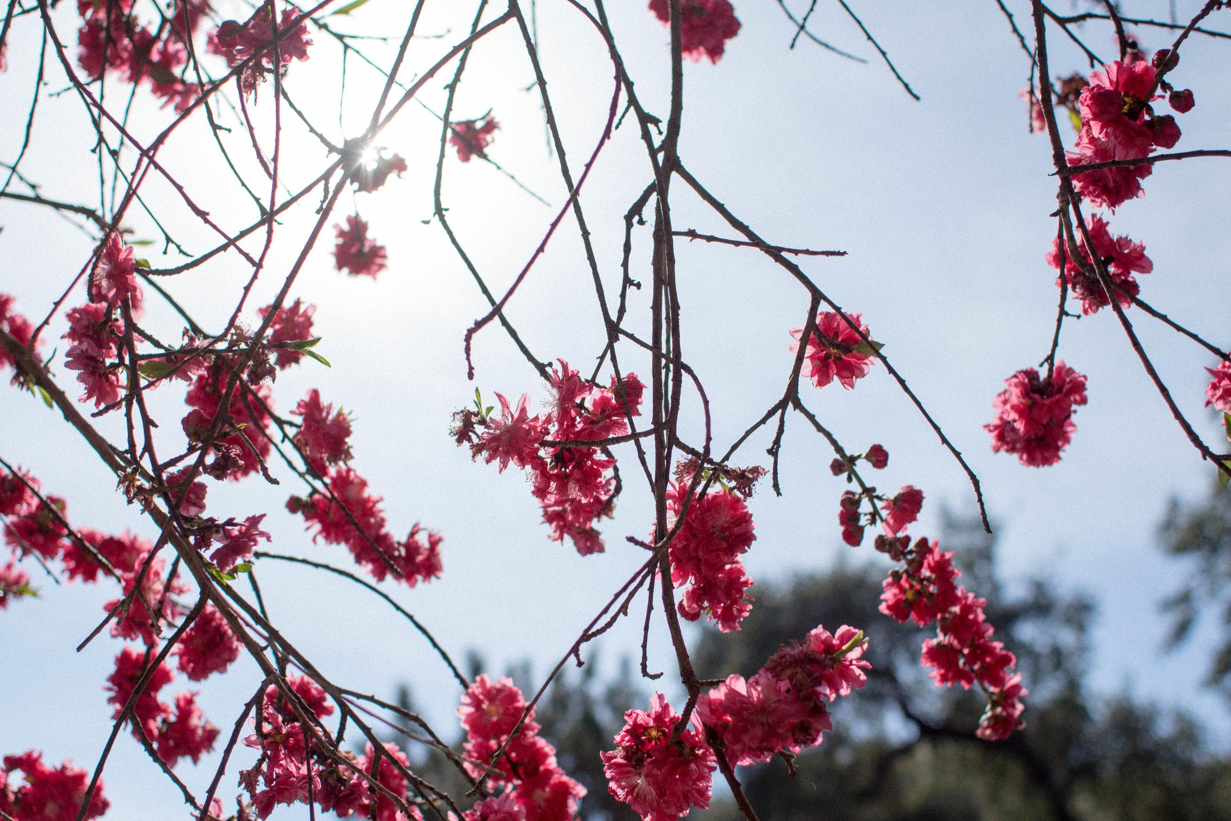 Huntington Gardens Cherry Blossoms
