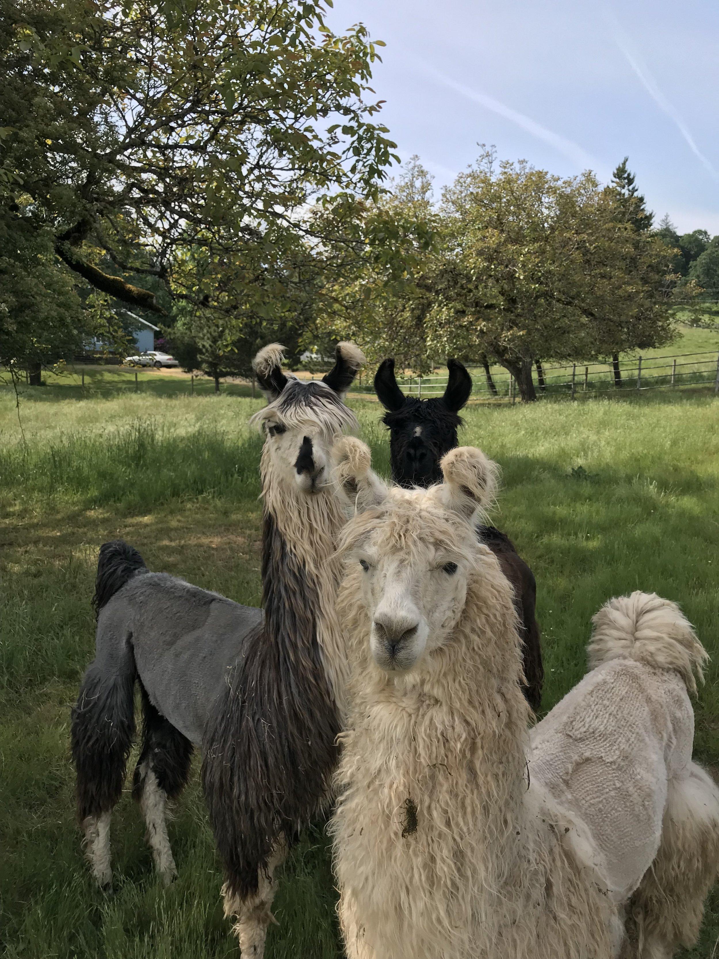 Llama farm in oregon.jpg