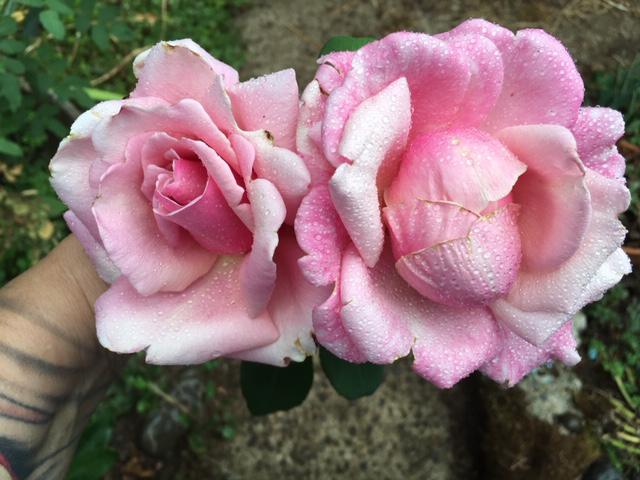 My Jess Roses