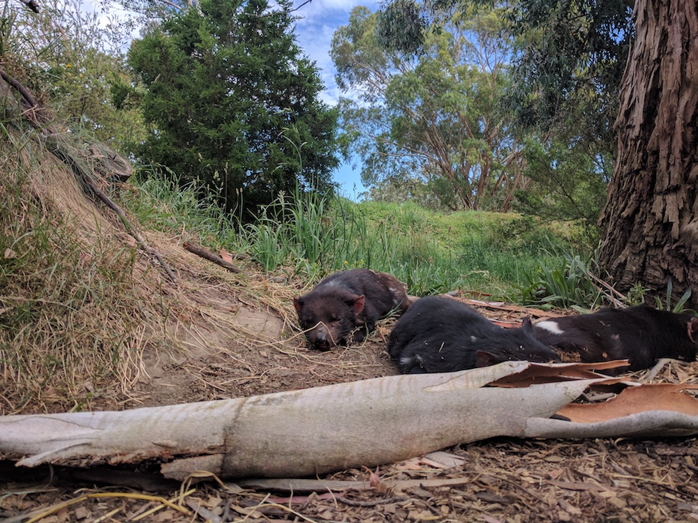 Tasmanian devils are nocturnal. They are only up during the day for their scheduled feeding.