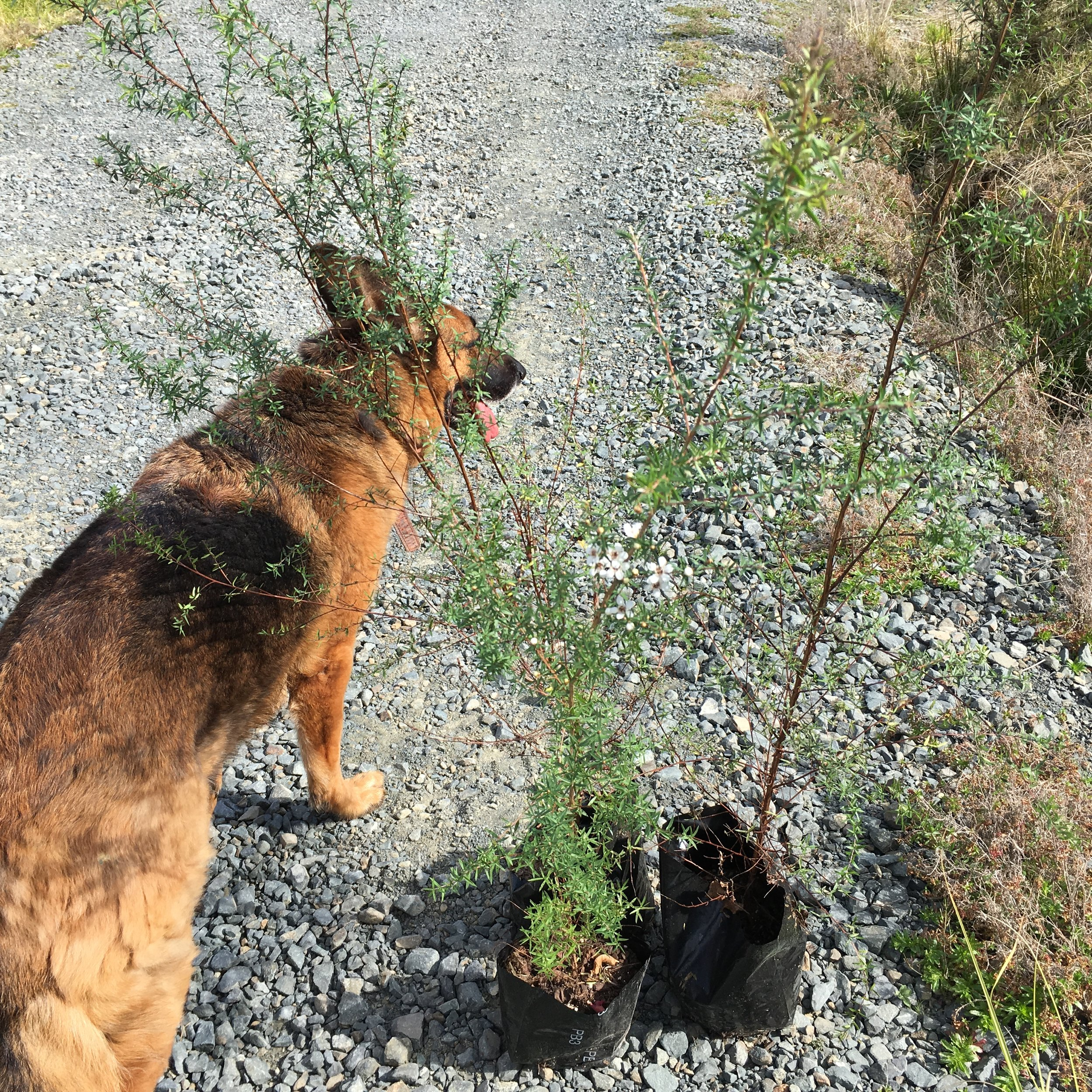 Manuka tree ready for planting. And dog.