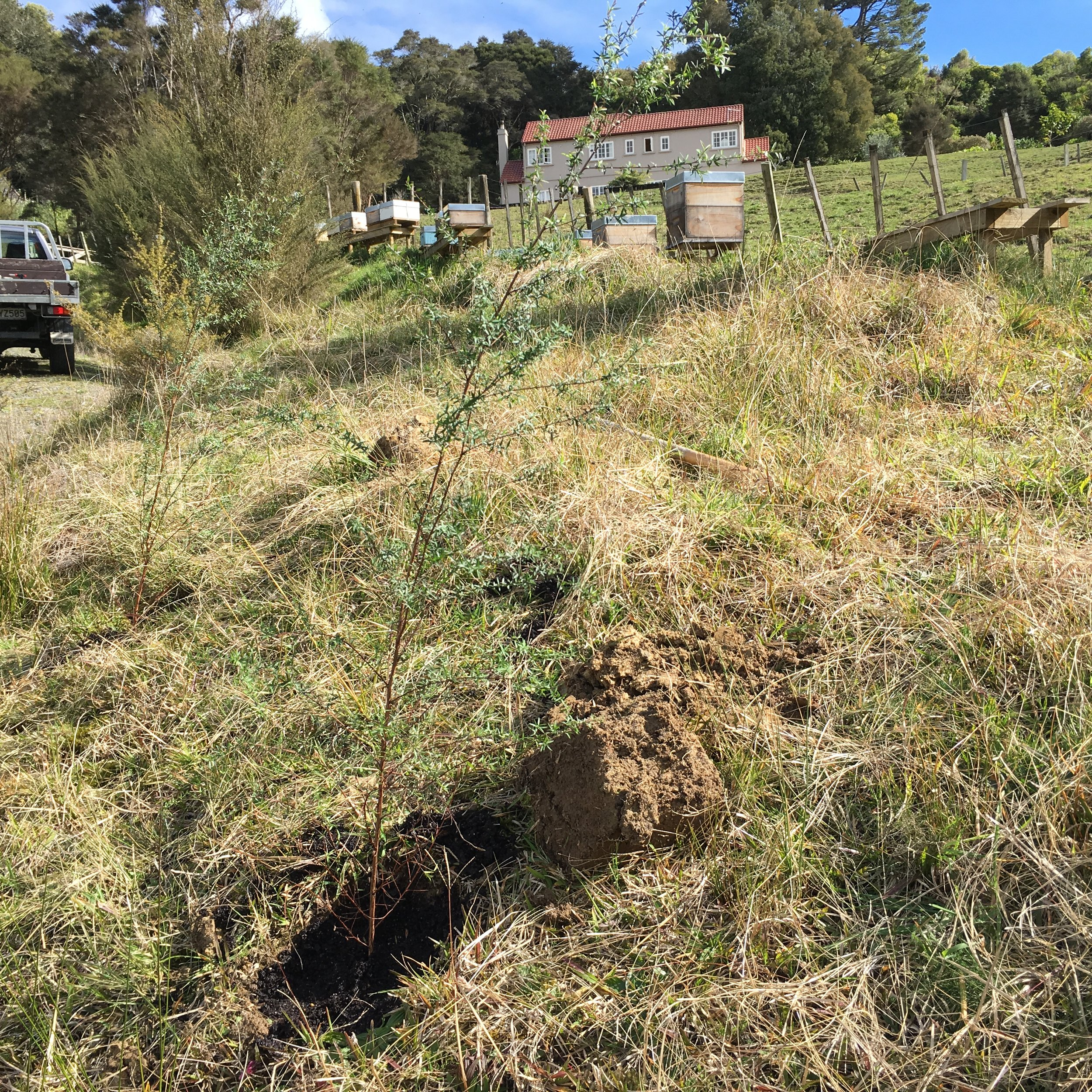 New manuka trees by beehives