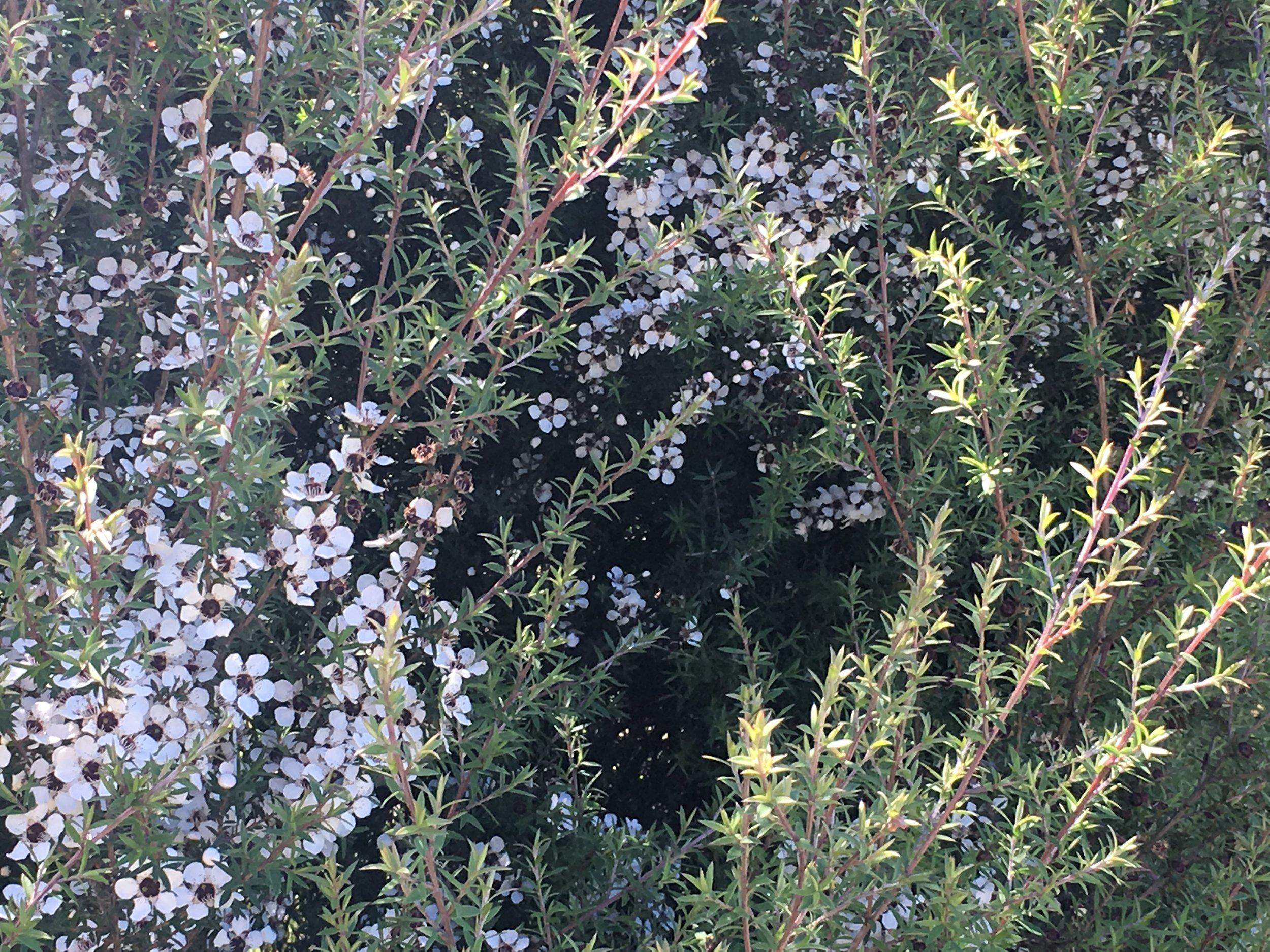 Manuka trees just starting to flower